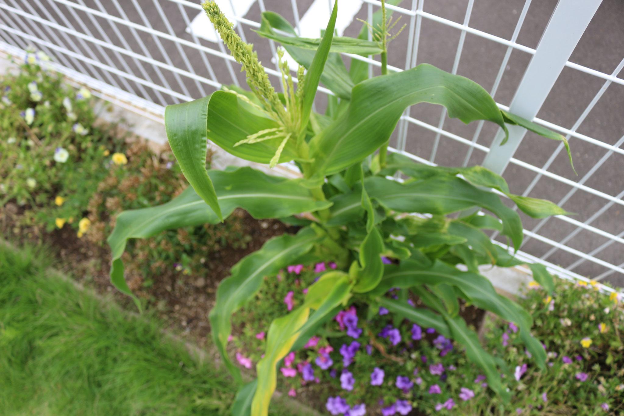 園長の悪戯で植えたトウモロコシですが、、順調に成長しております😲
