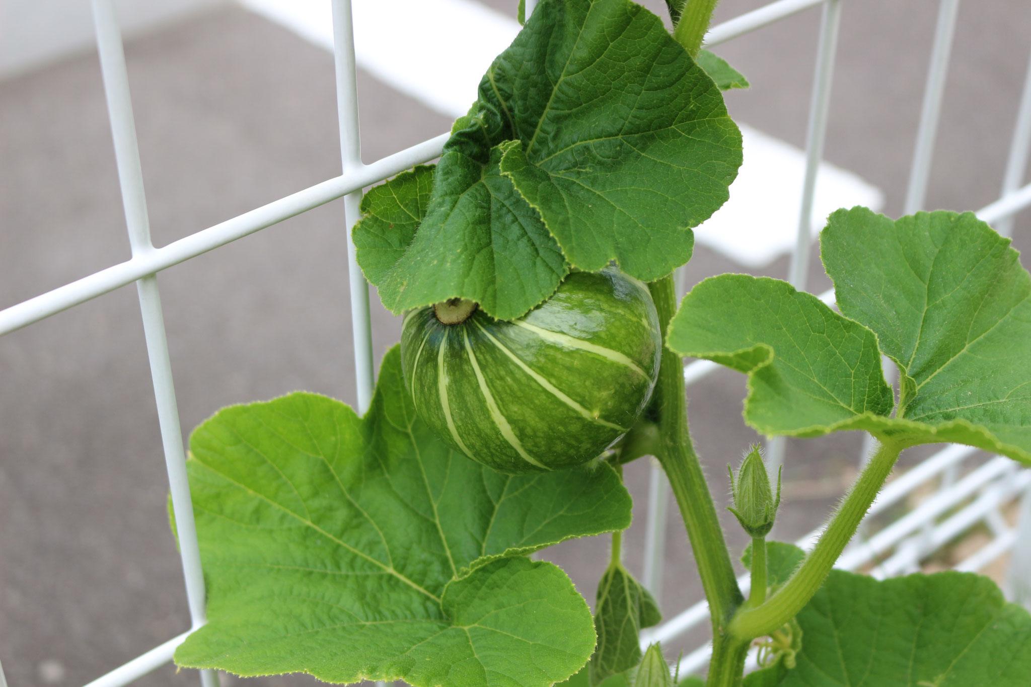 ミニカボチャもあります!小さい園庭で育てる楽しさ、不思議さ、発見を大事にしています\(^_^)/