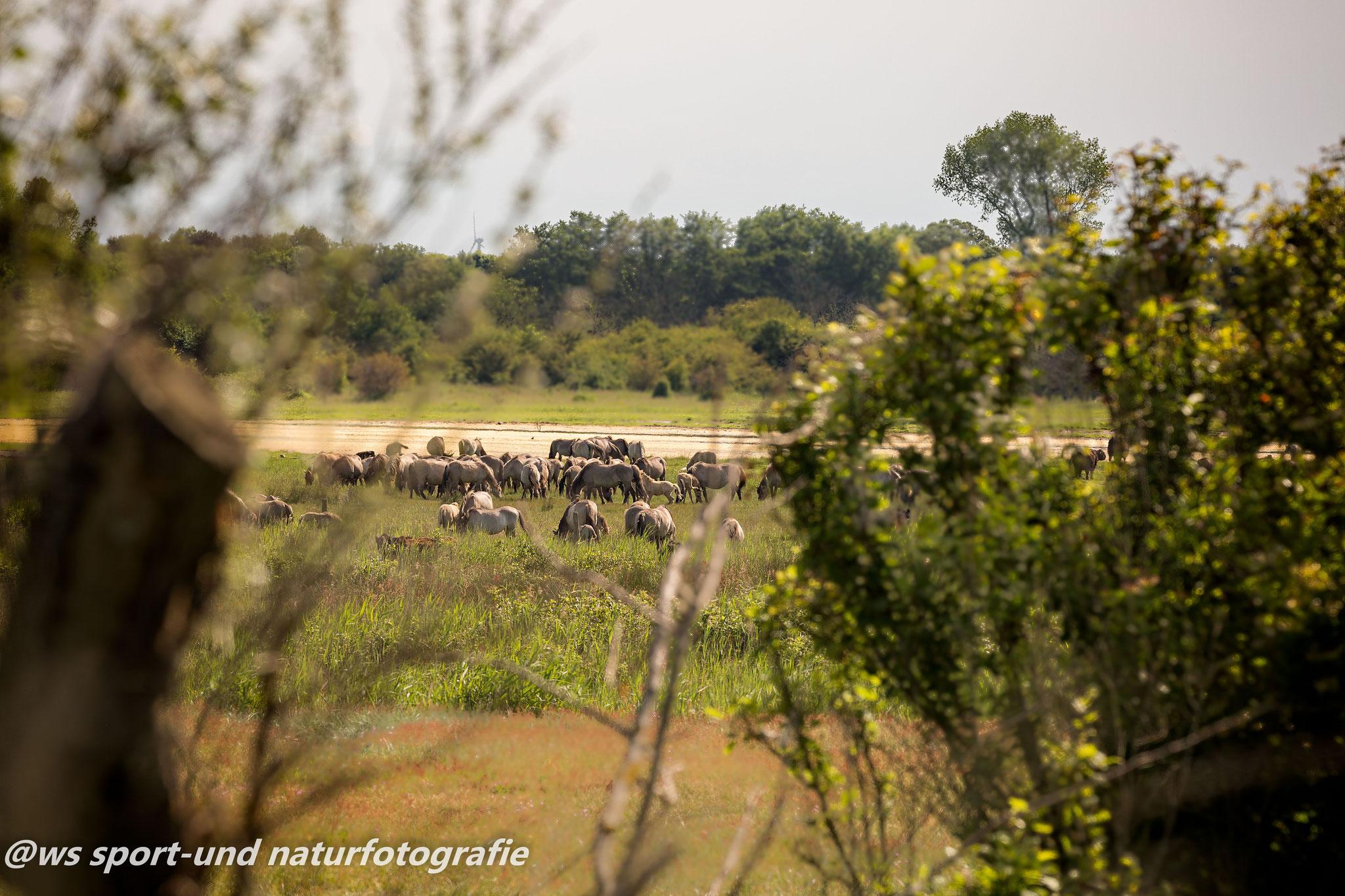 Wildpferde der Birk