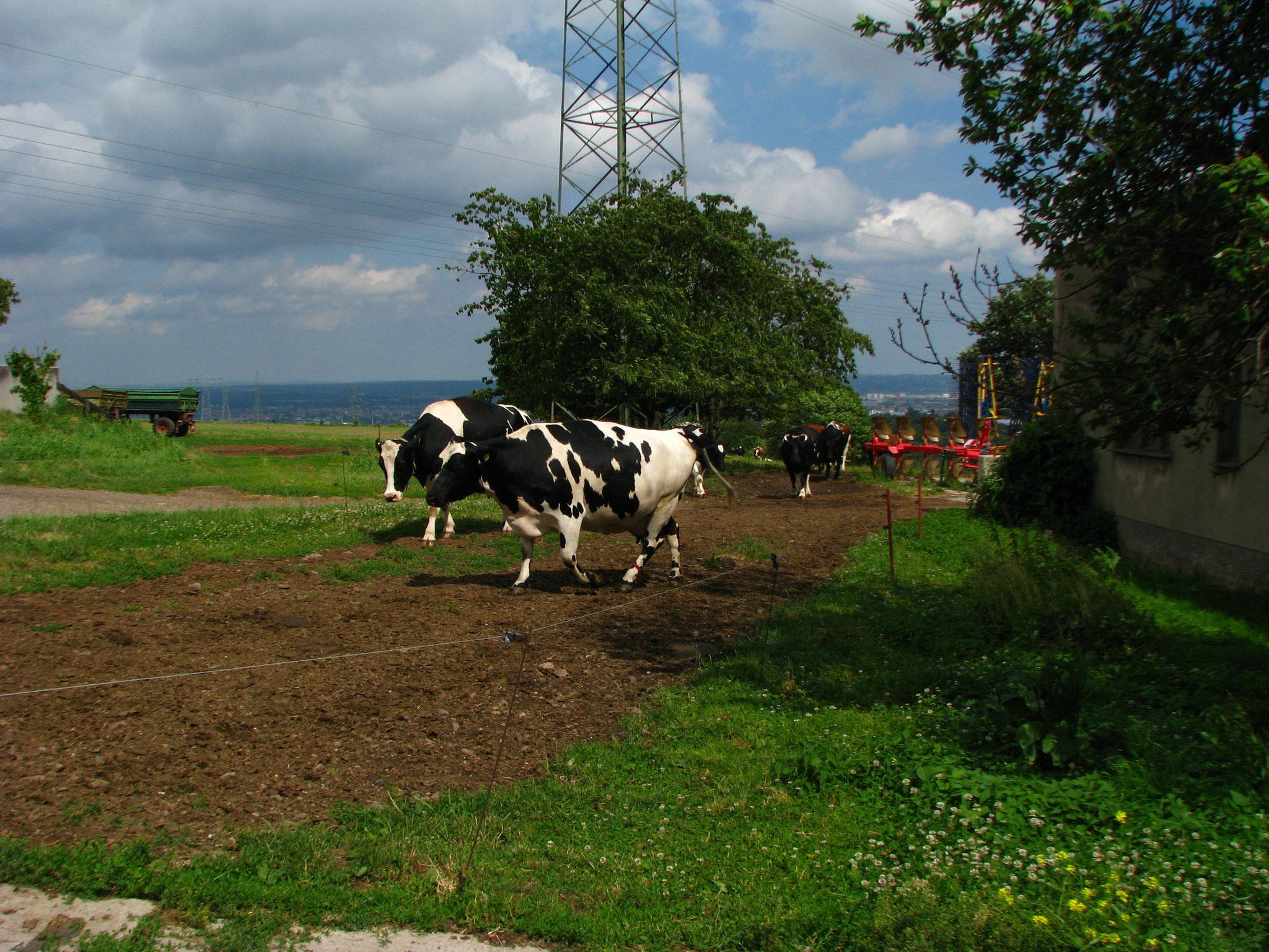 Die Kühe kommen in den Stall