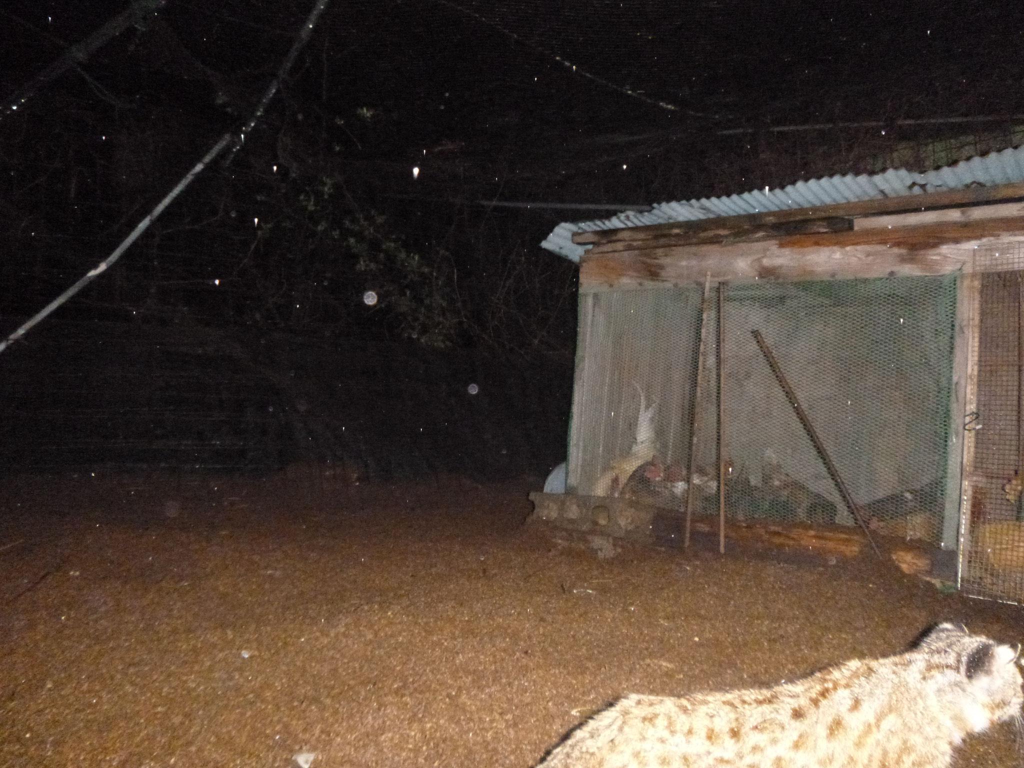 鶏小屋にあらわれた、神宮家周辺に棲むツシマヤマネコ2