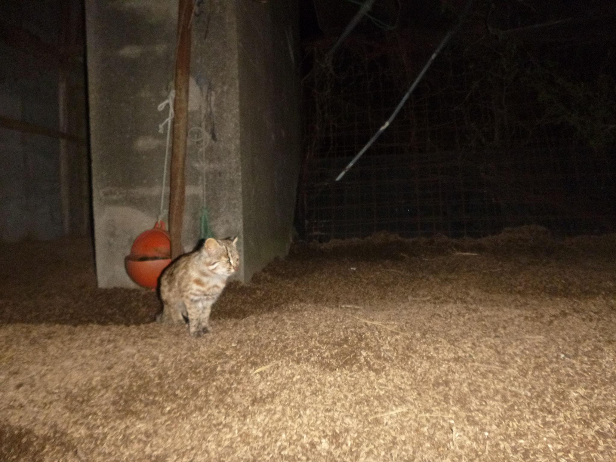 鶏小屋にあらわれた、神宮家周辺に棲むツシマヤマネコ1