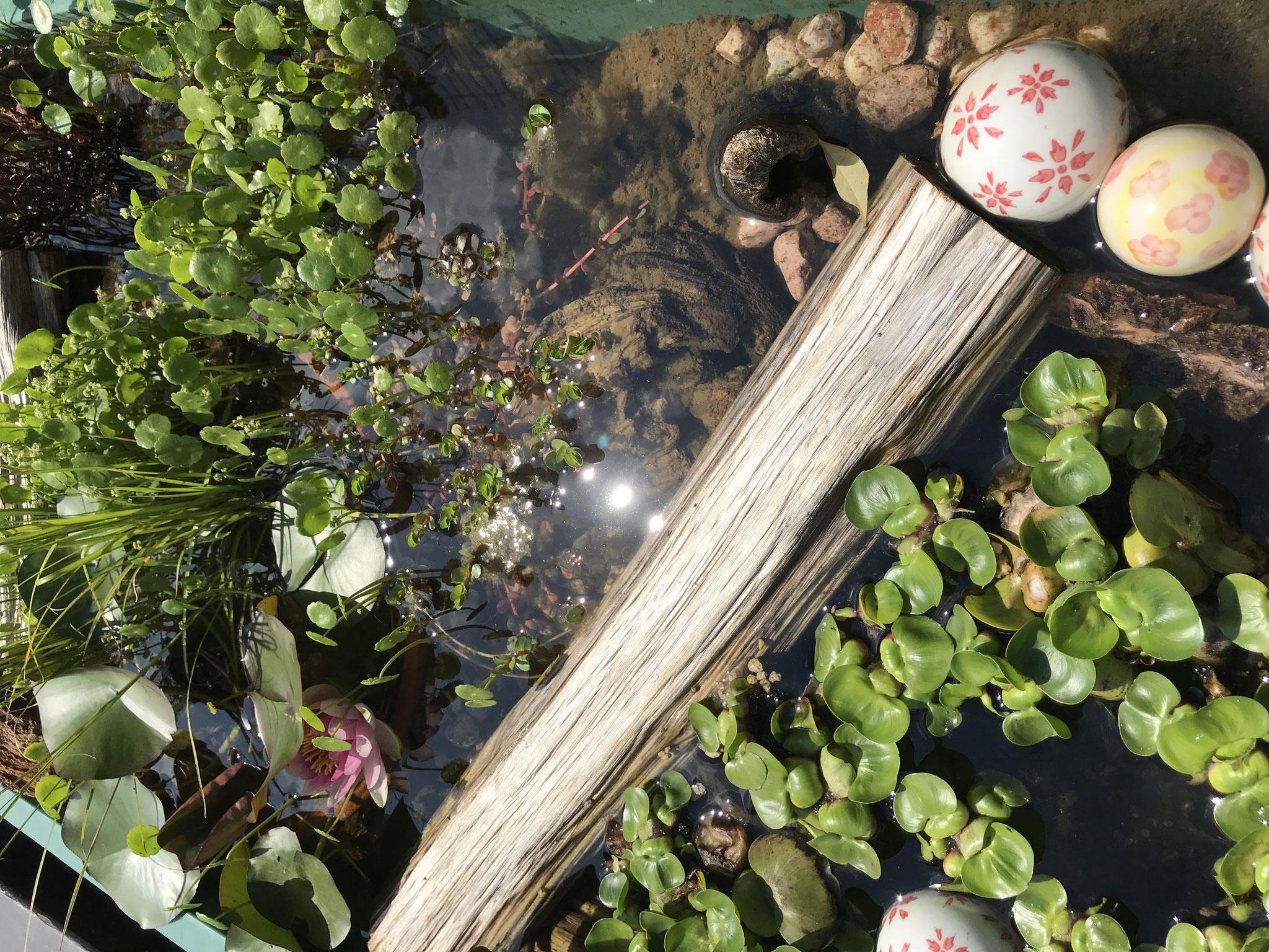 ビオトープ 浮草たち