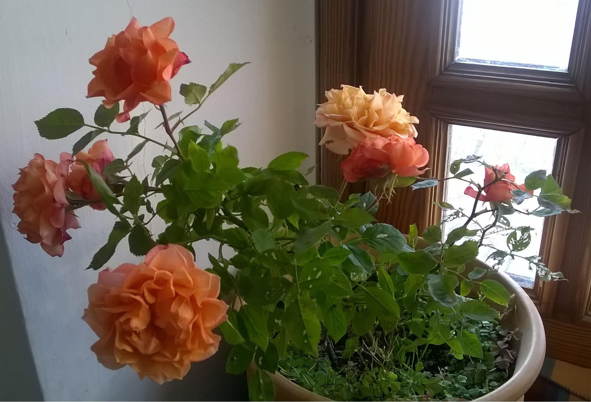 20 Novembre è ancora in fiore, aspettando primavera! L'articolo è dedicato alla nostra Rosa!