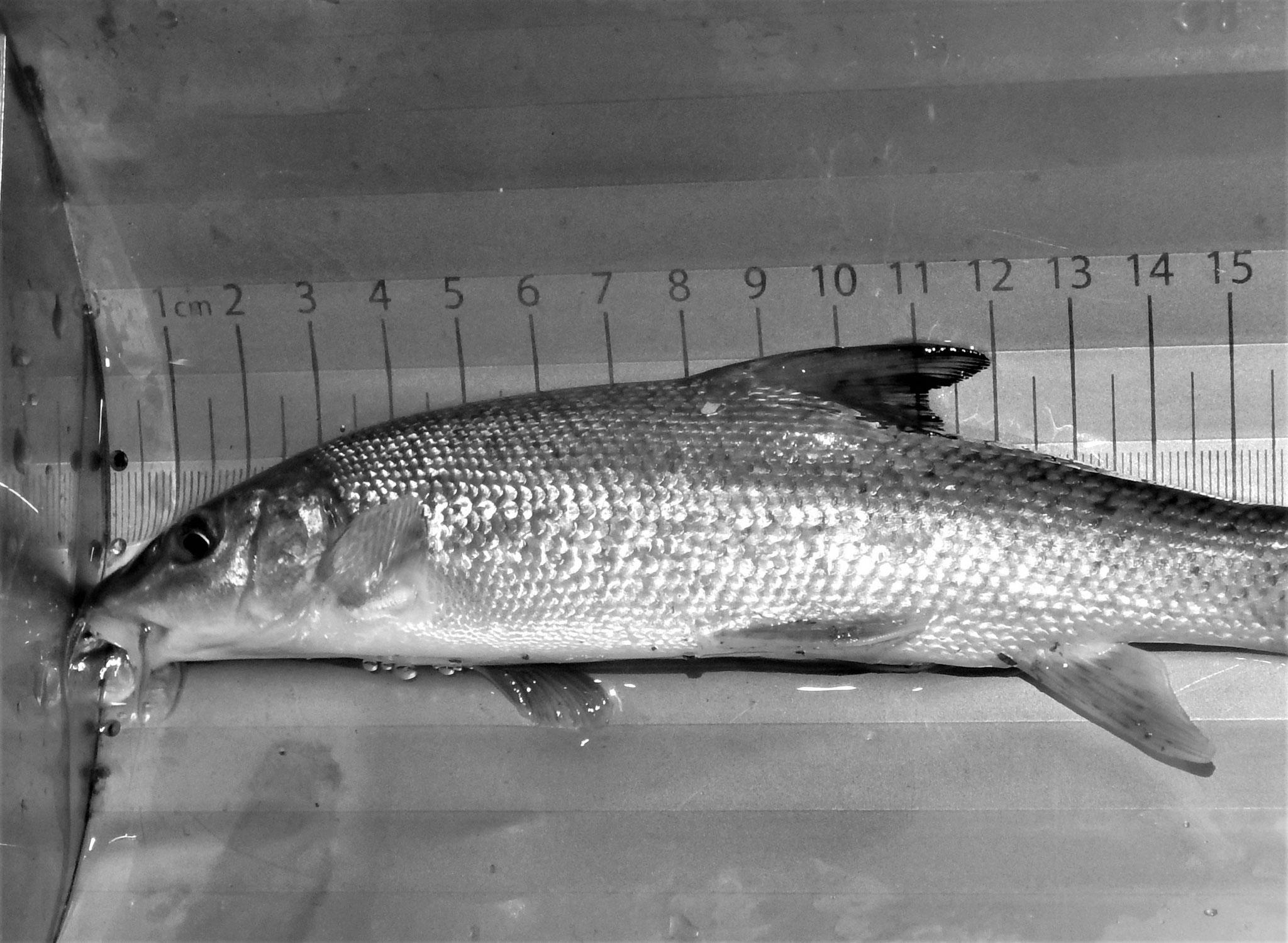 Fischkunde und Fischbestimmung - Fischmonitoring