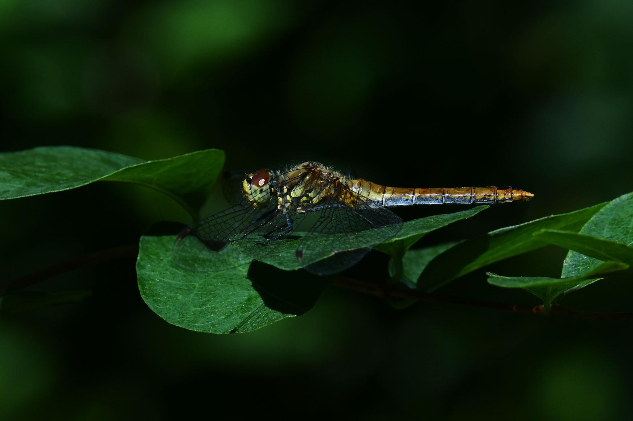 Libelle©Gerd Johannsen