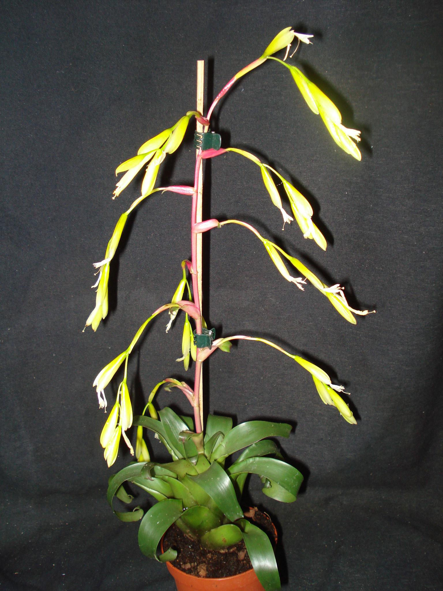 Vriesea delicatula