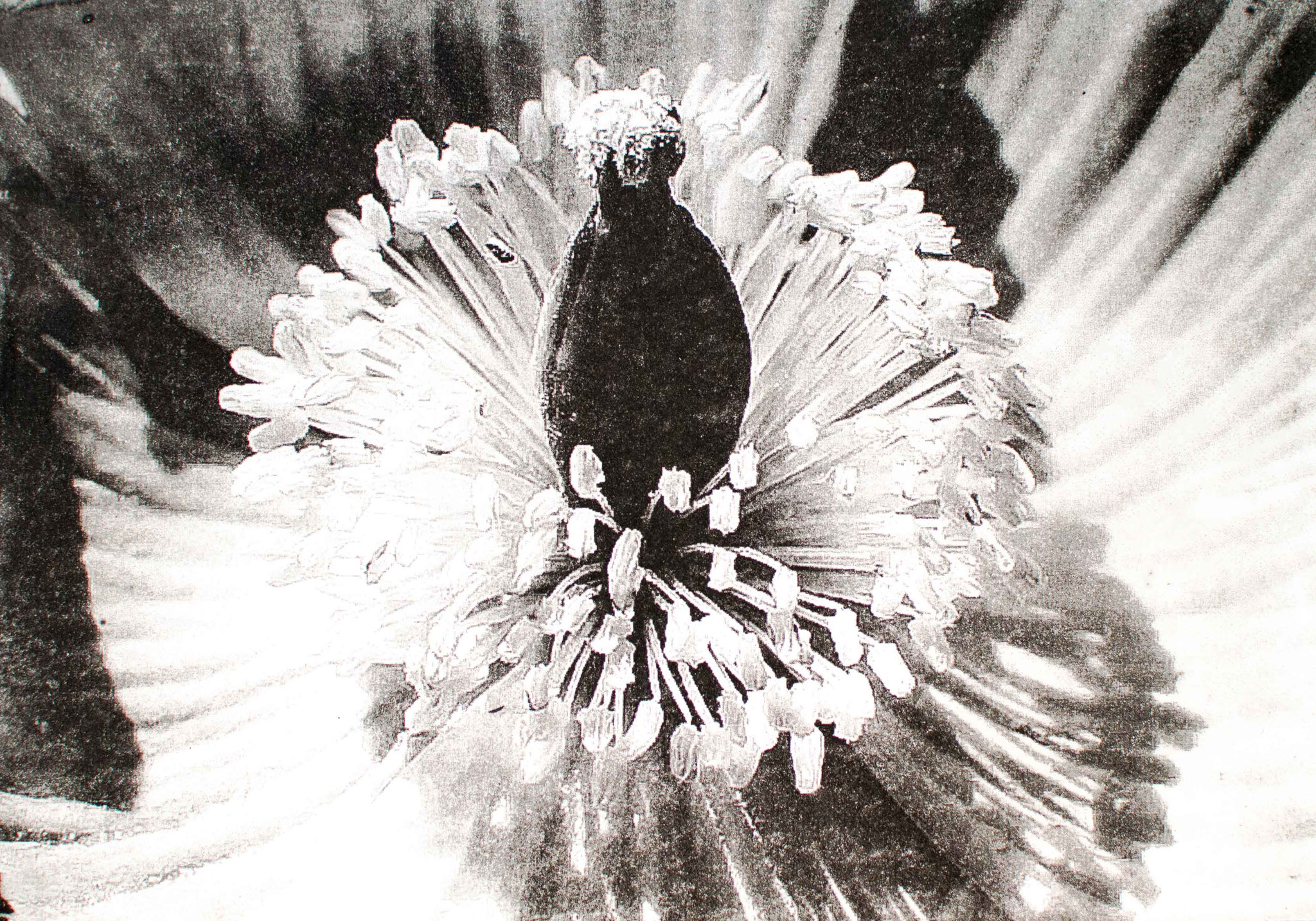 Intagliotypie, 20x30 cm, Mohn
