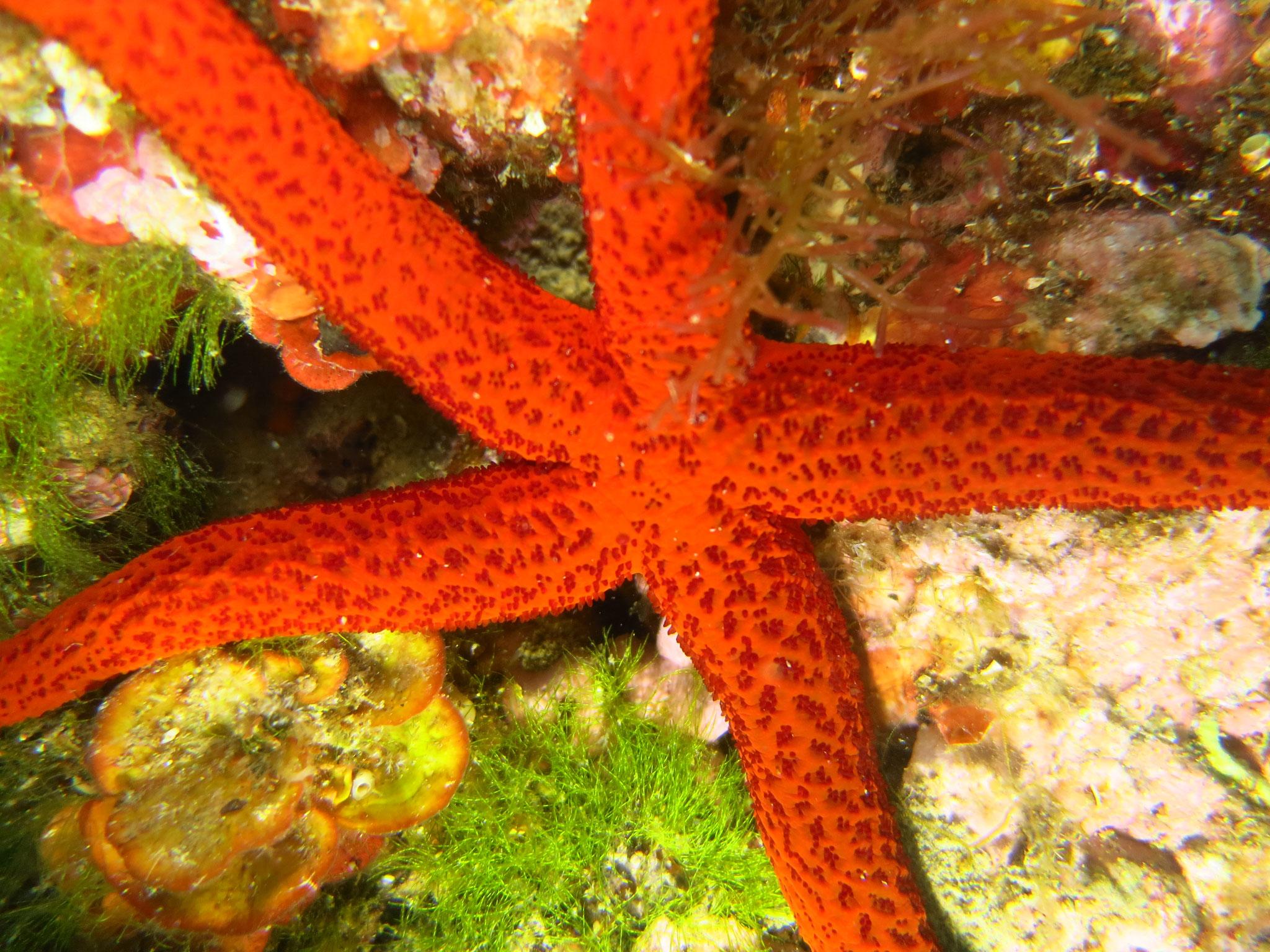 étoile de mer rouge face aborale