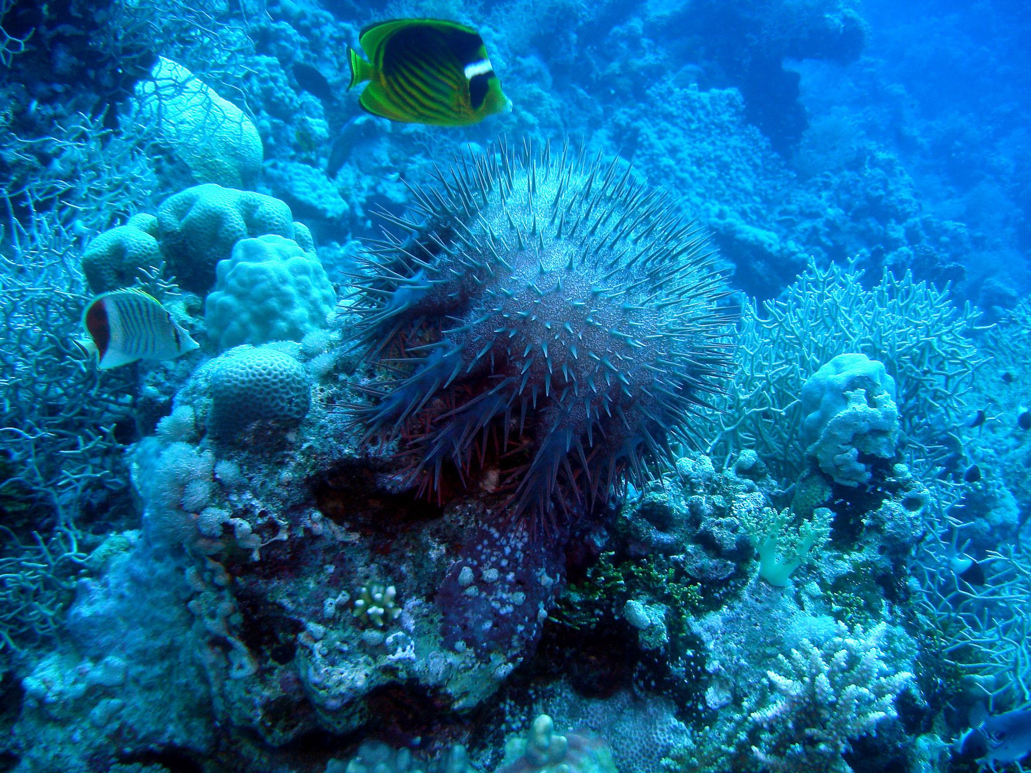 acanthaster mer Rouge Egypte