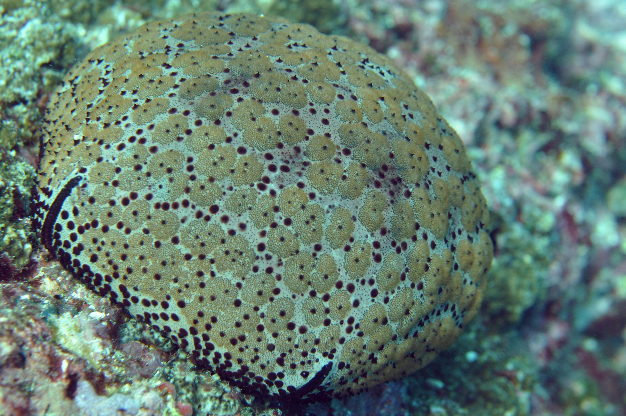 étoile de mer coussin (Culcita schmideliana)