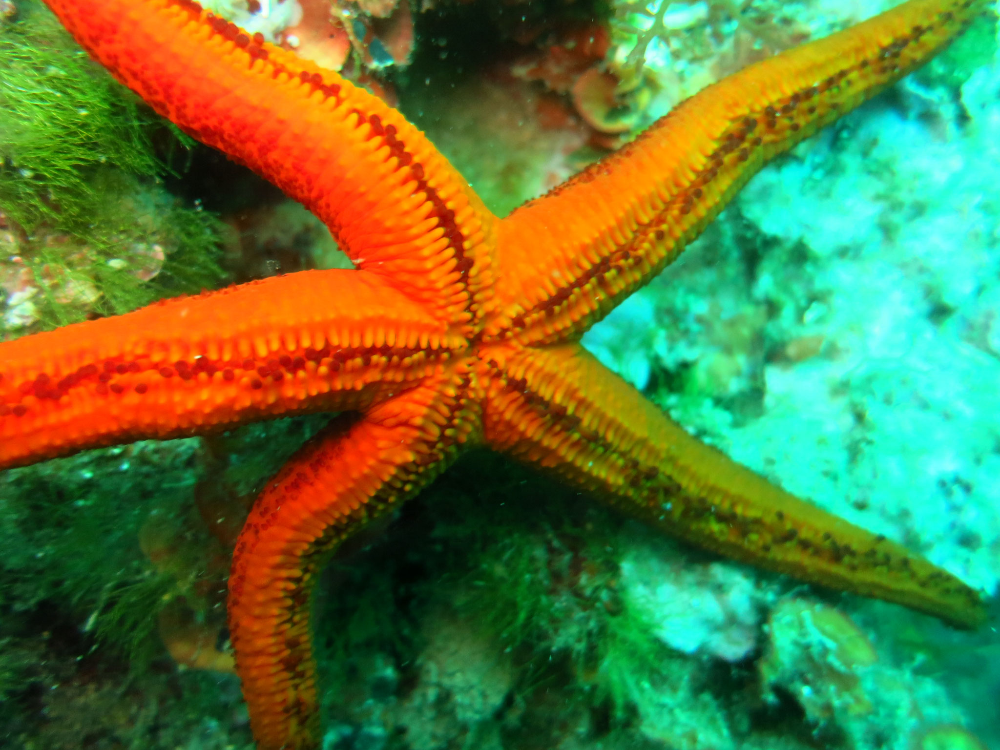 étoile de mer rouge face orale
