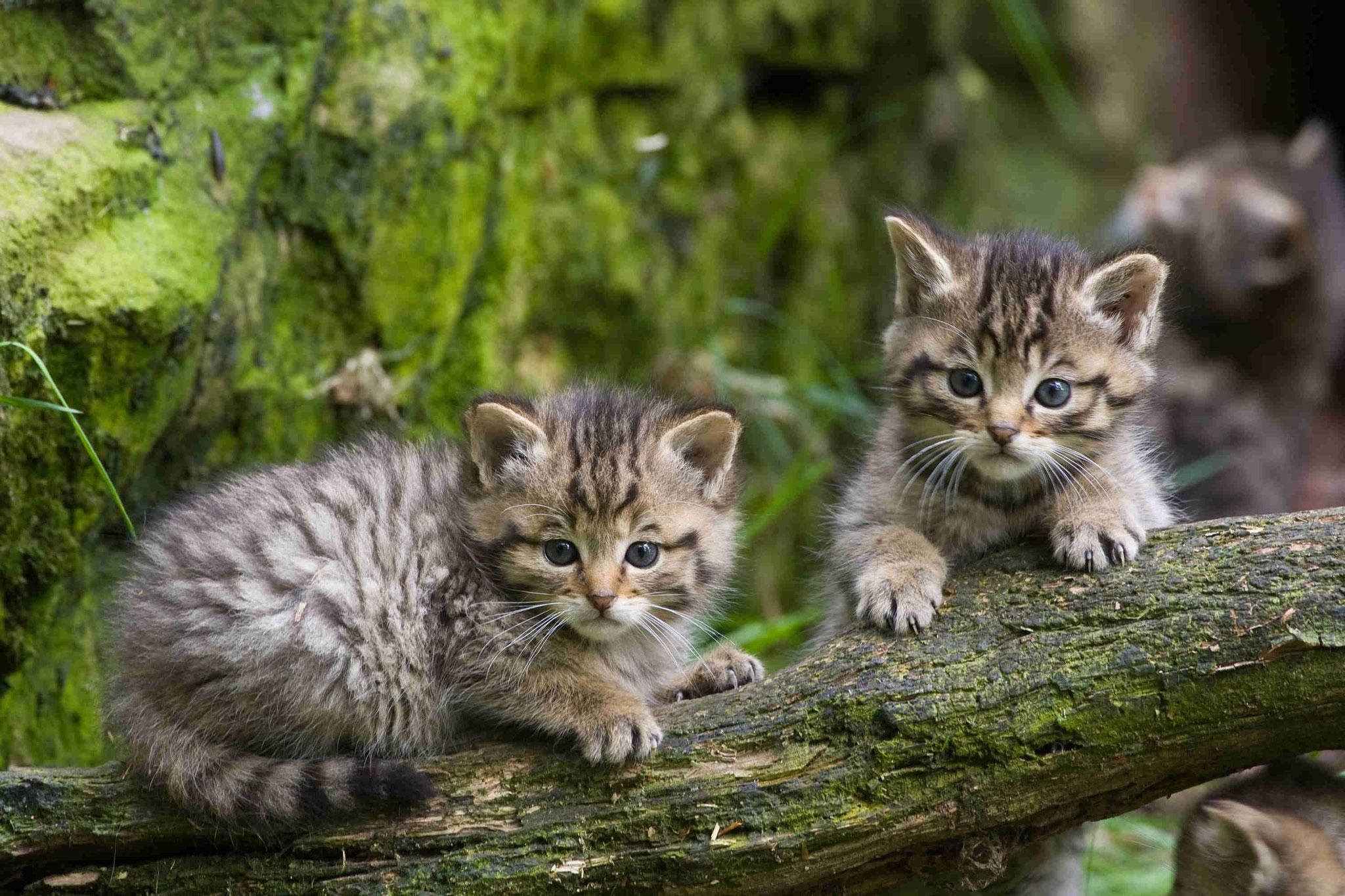 """""""Wildkatzen"""" von Jürgen Borris"""