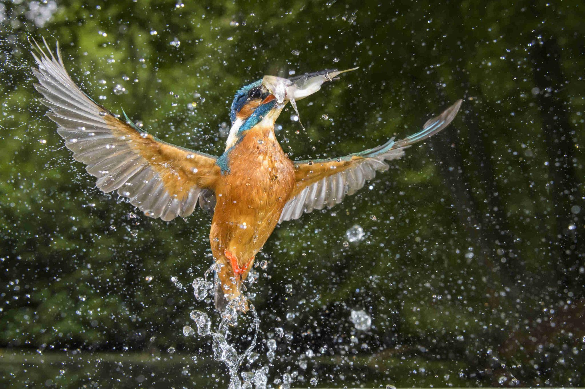 """""""Fischender Eisvogel"""" von Willi Rolfes aus Vechta"""