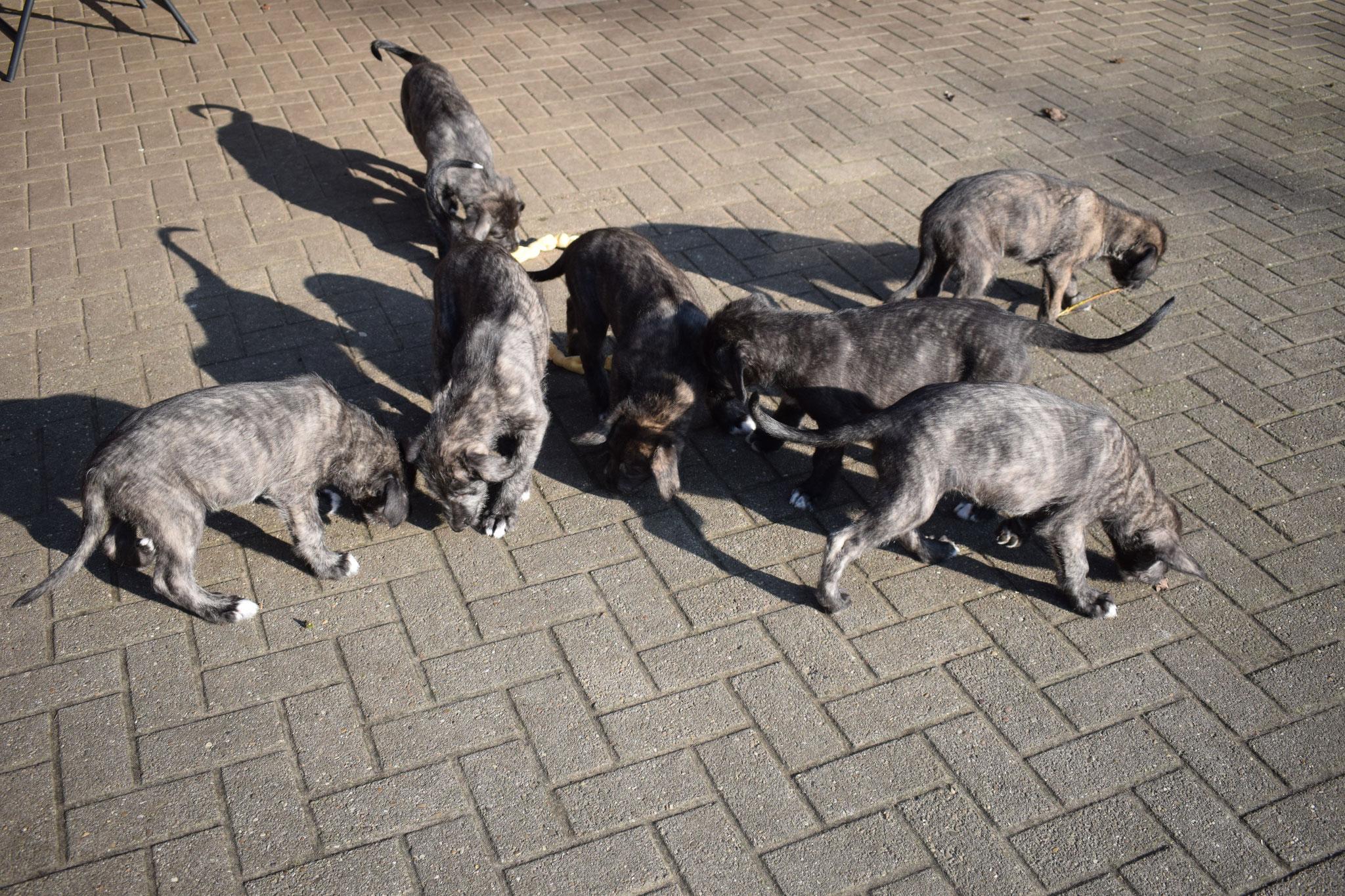 Welpengalerie - Celtic Shamrocks Irish Wolfhounds