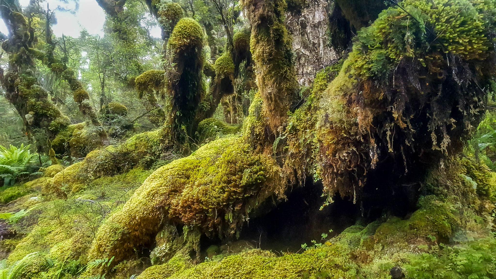 Bäume und Moos werden uns auf dem ganzen Te Araroa begleiten