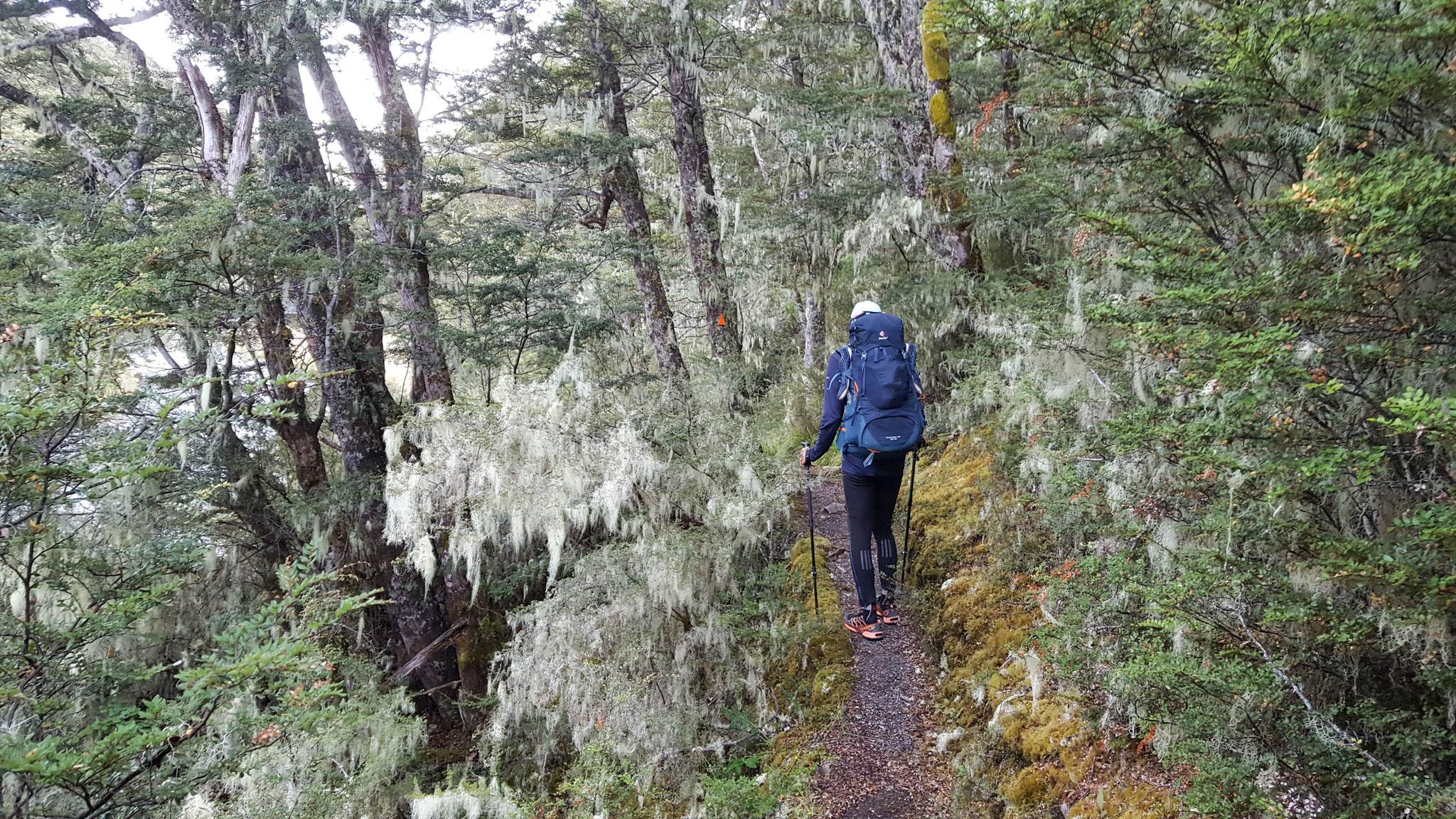 Te Araroa nach einem Regentag blüht das Moos