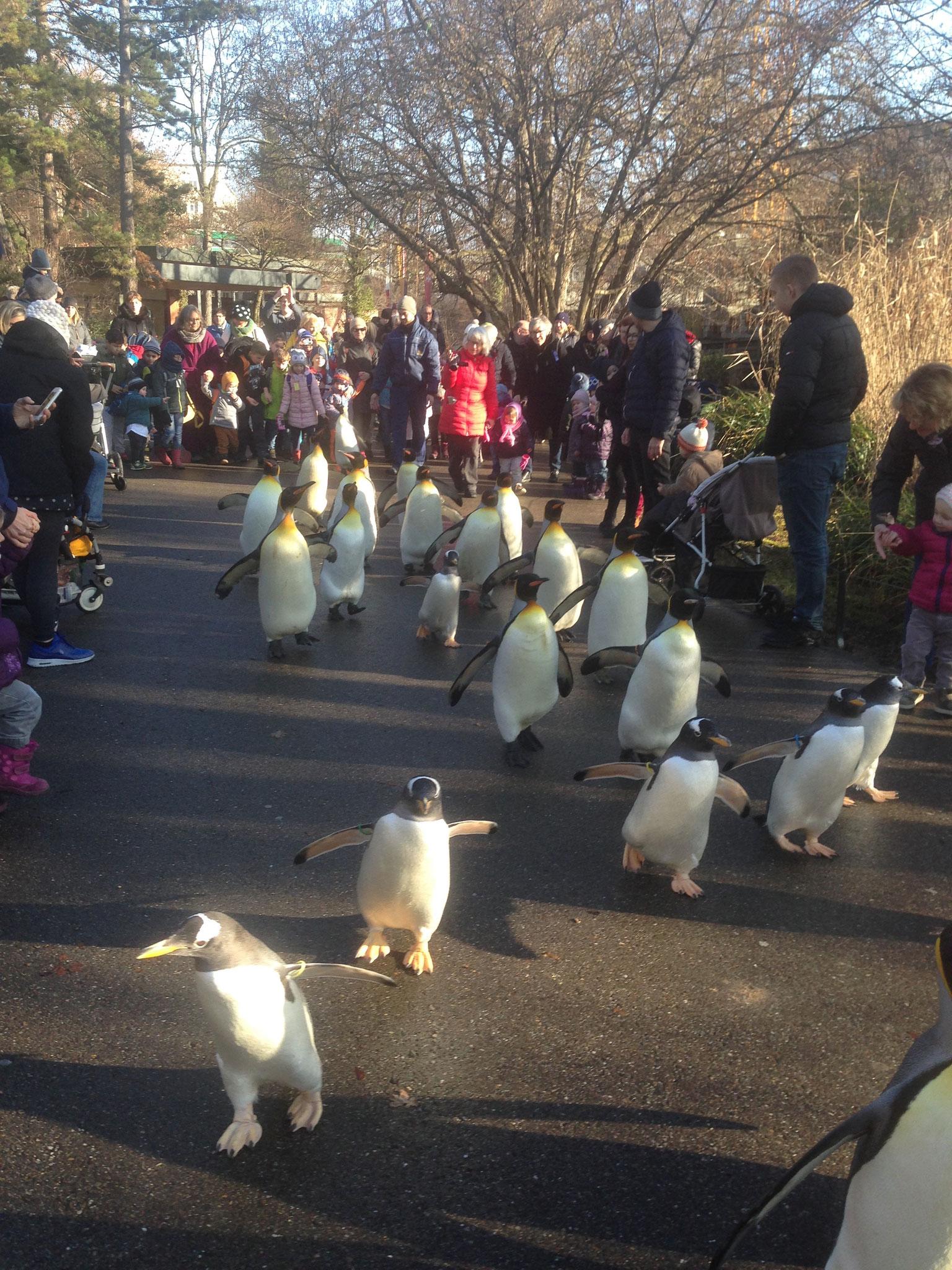 Pinguinwanderung im Zoo Basel (15.01.2019)