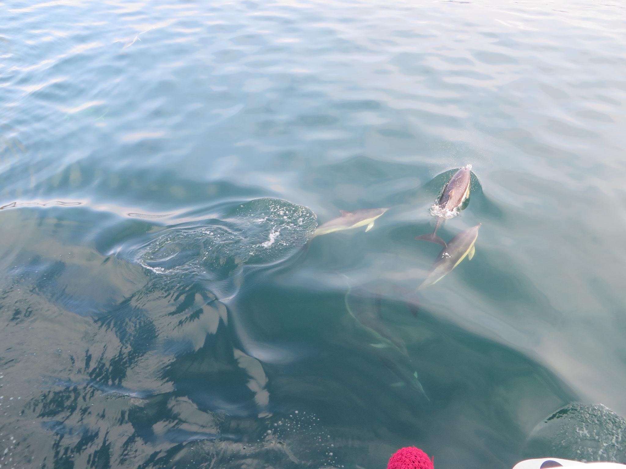 Überraschende Delfinbegegnung im Sound of Mull
