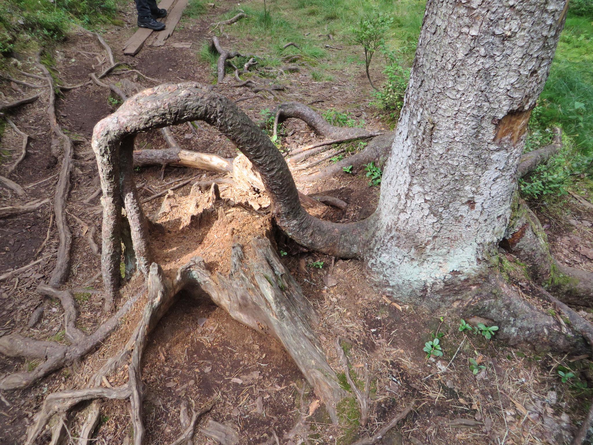 Der Stumpf ist längst vermodert, die Wurzel bleibt