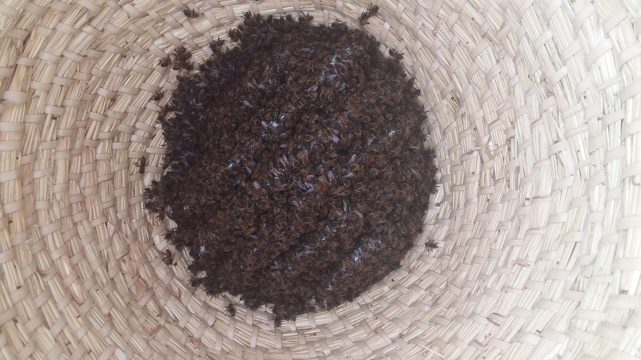 Einen kleinen Bienenschwarm haben wir in einem Bienenkorb untergebracht - er entwickelte sich prächtig