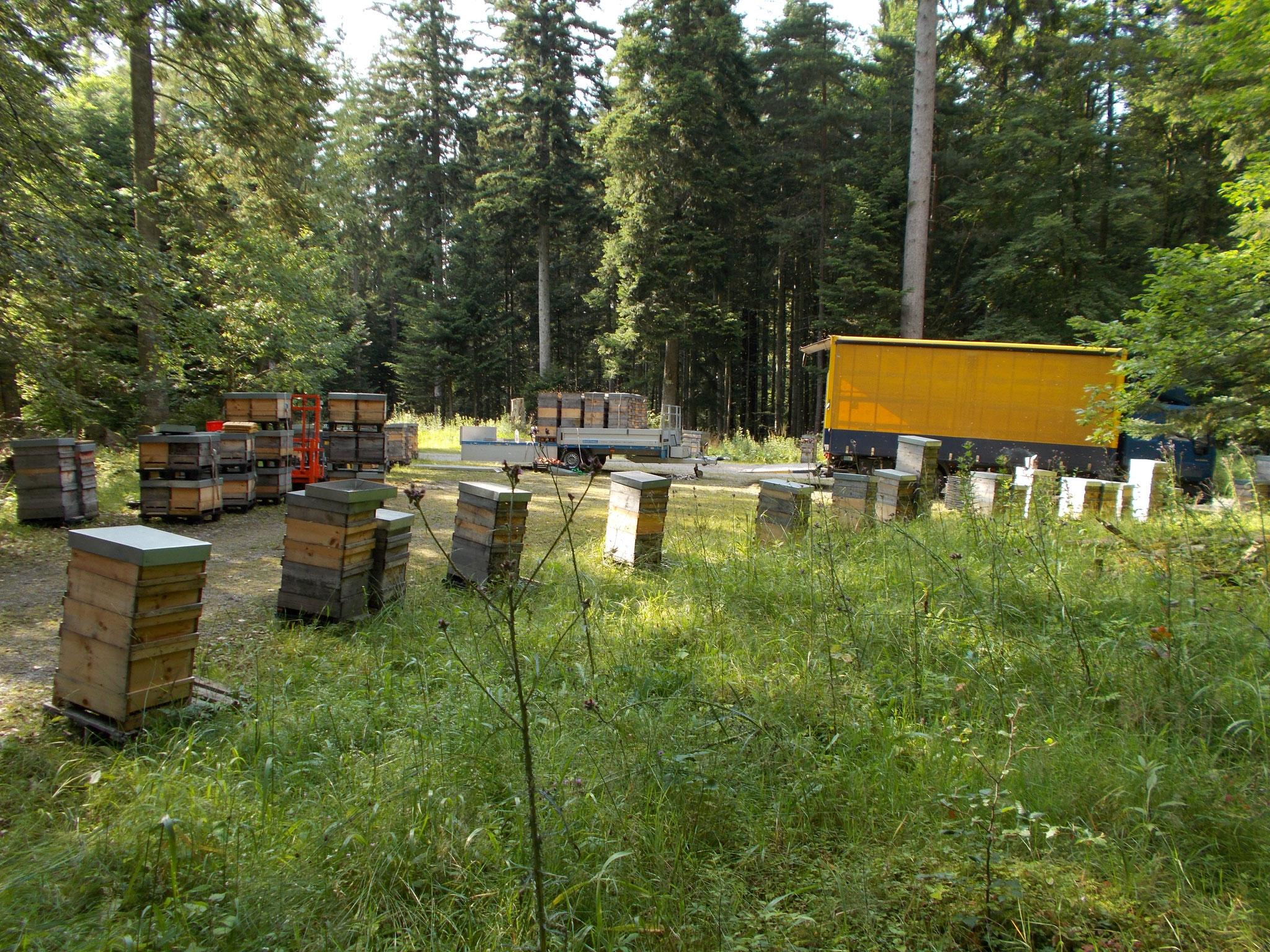 ...so kommt unser aromatischer Waldhonig z.B. aus dem Schwarzwald. Nach ca. 1-2 Wochen werden die Bienen zur Honigernte wieder nach Hause geholt.