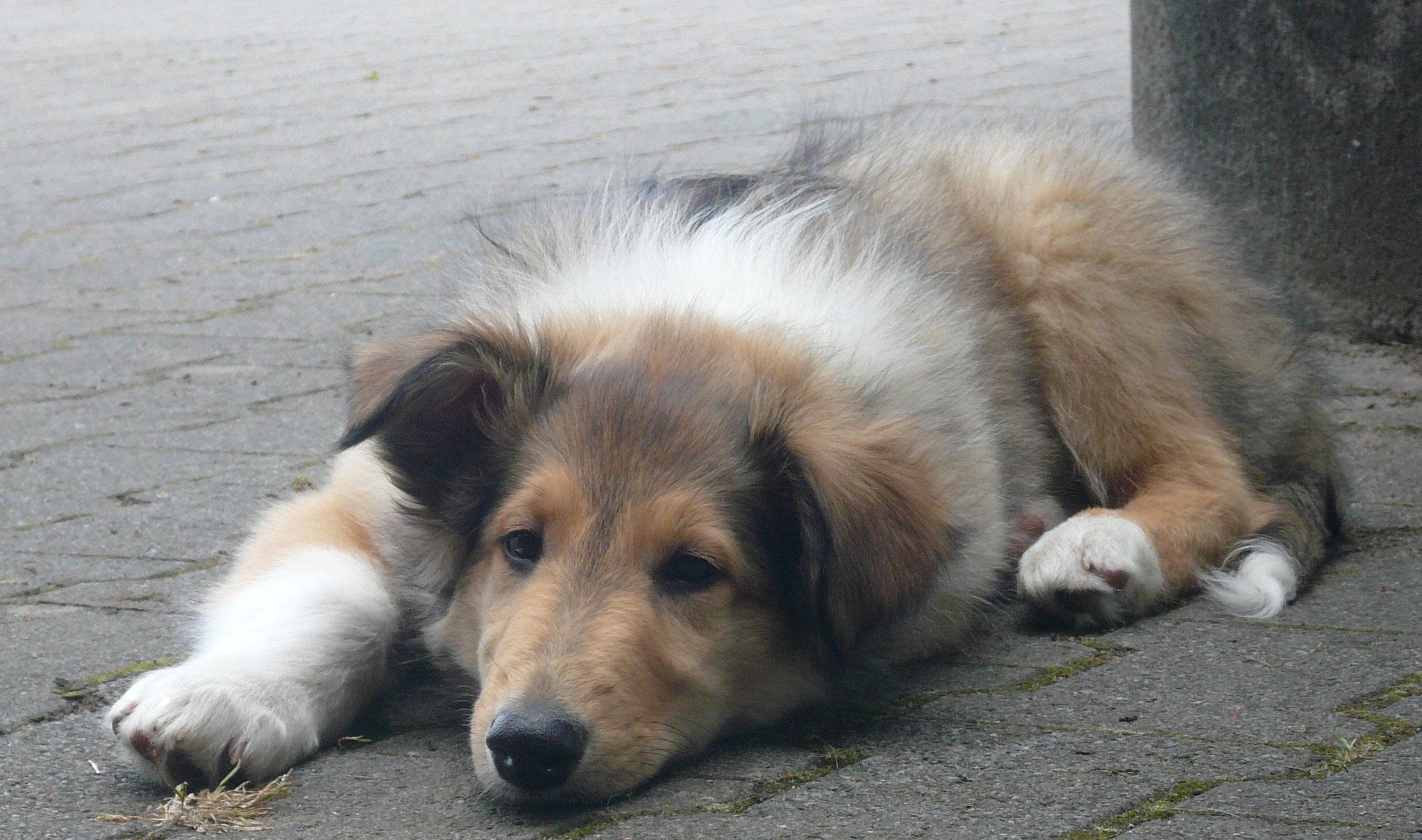 Bandit Baiko mit 8 Wochen, im Hundehimmel August 2018