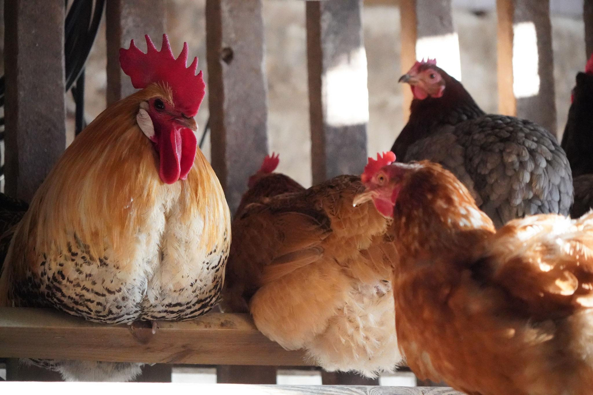 Uwe und ein Teil der Hühnerdamen, Foto Jürgen Wolf