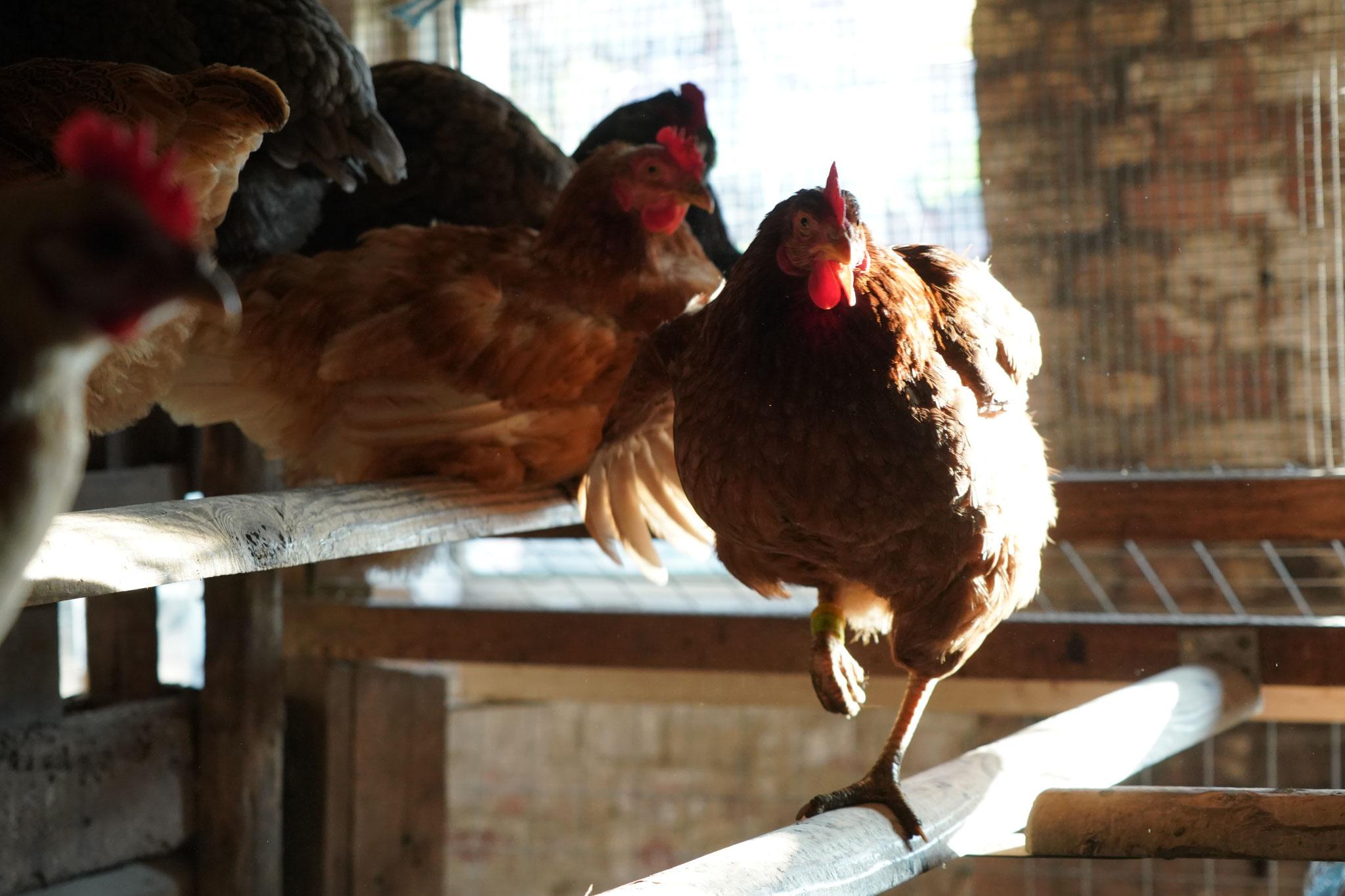 Hühner, Foto Jürgen Wolf