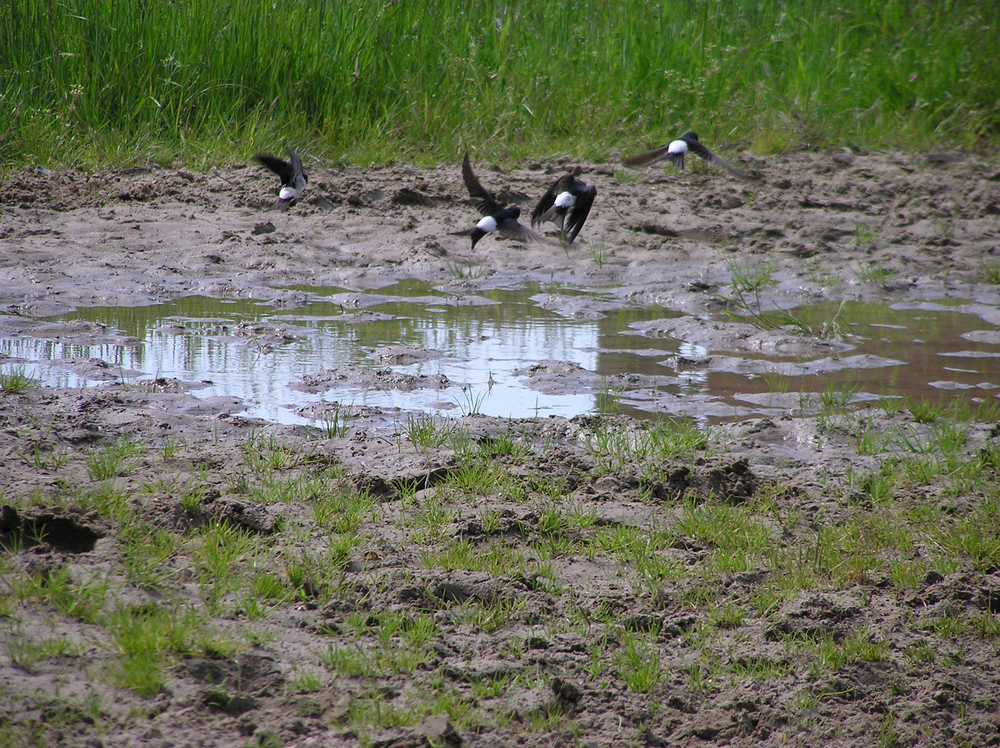 Mehlschwalben (Foto: NABU)