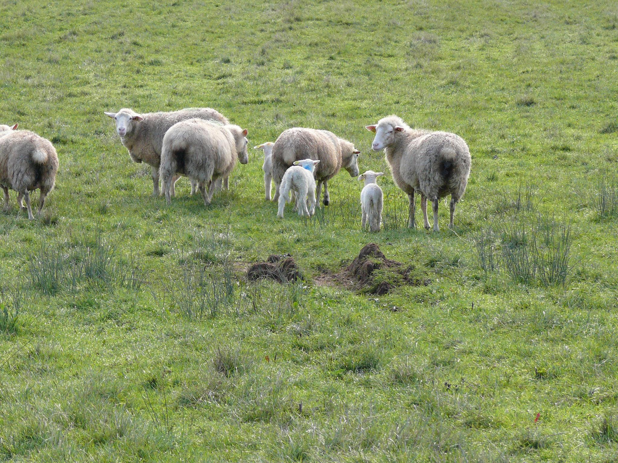 les moutons autour du village  Le bourg