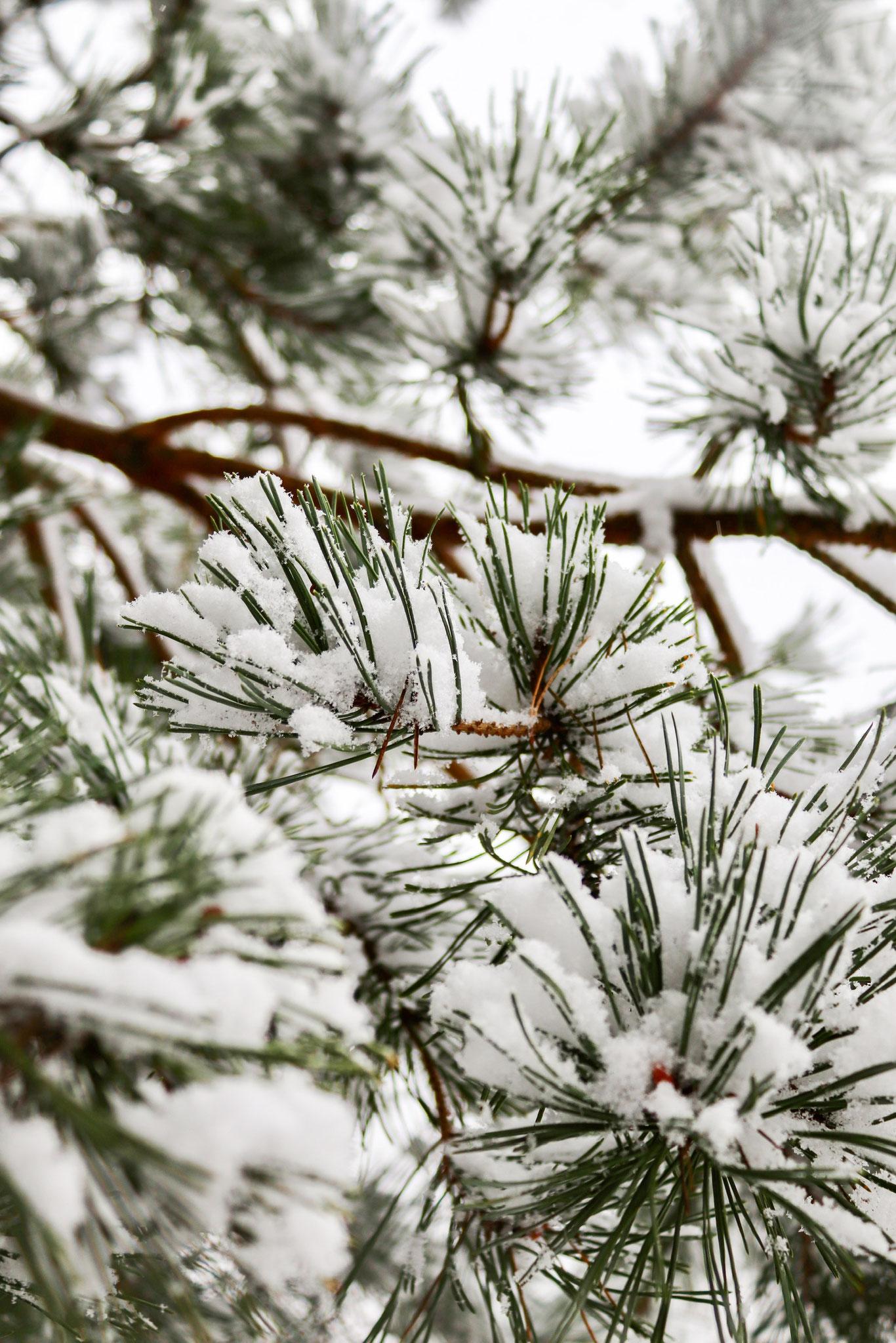 Tanne mit Schnee