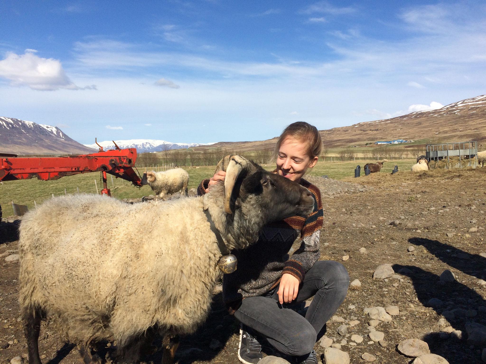 Annäherungsversuch: Judith mit einem isländischen Schaf