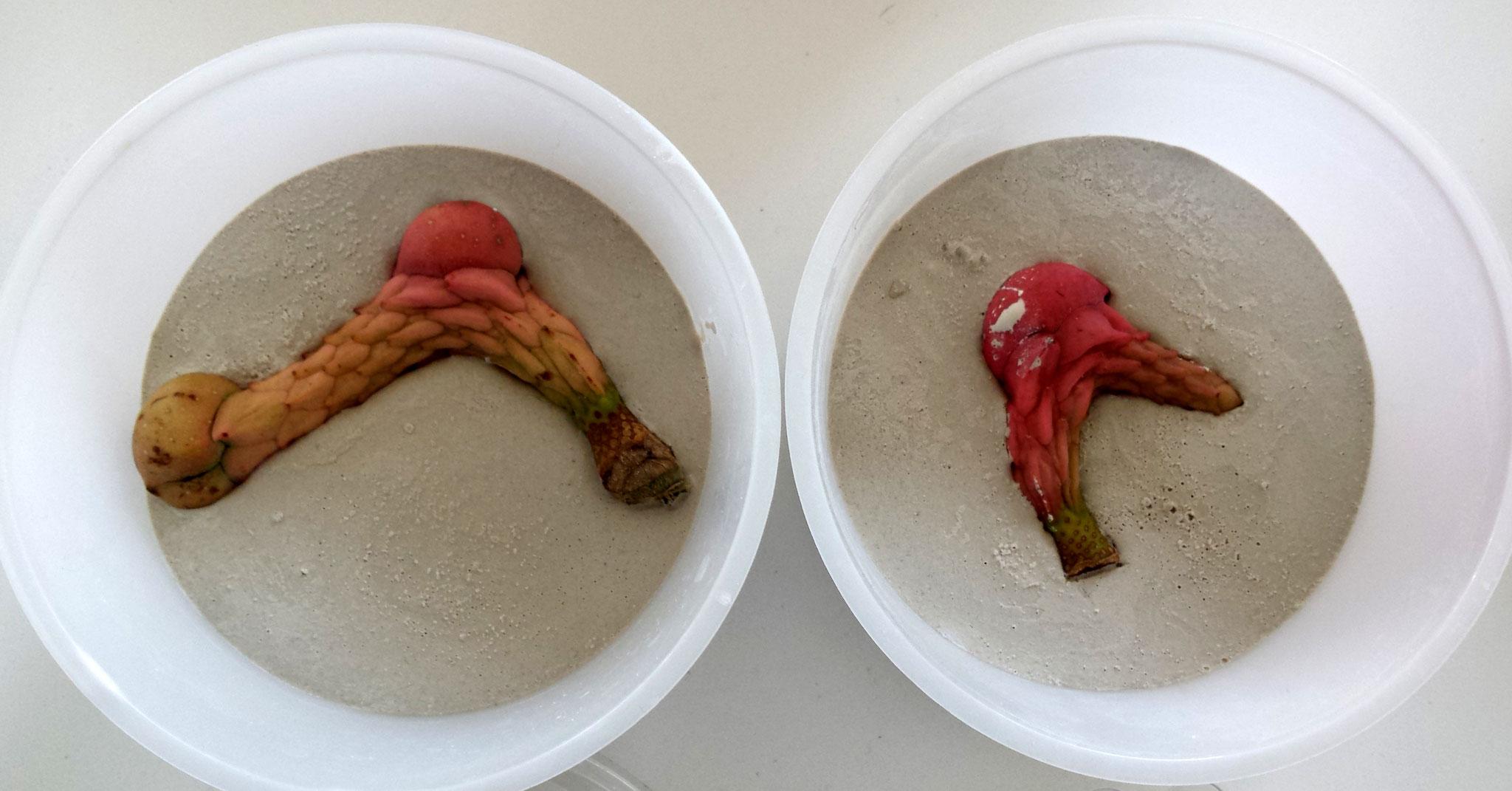 Formbau Magnolias