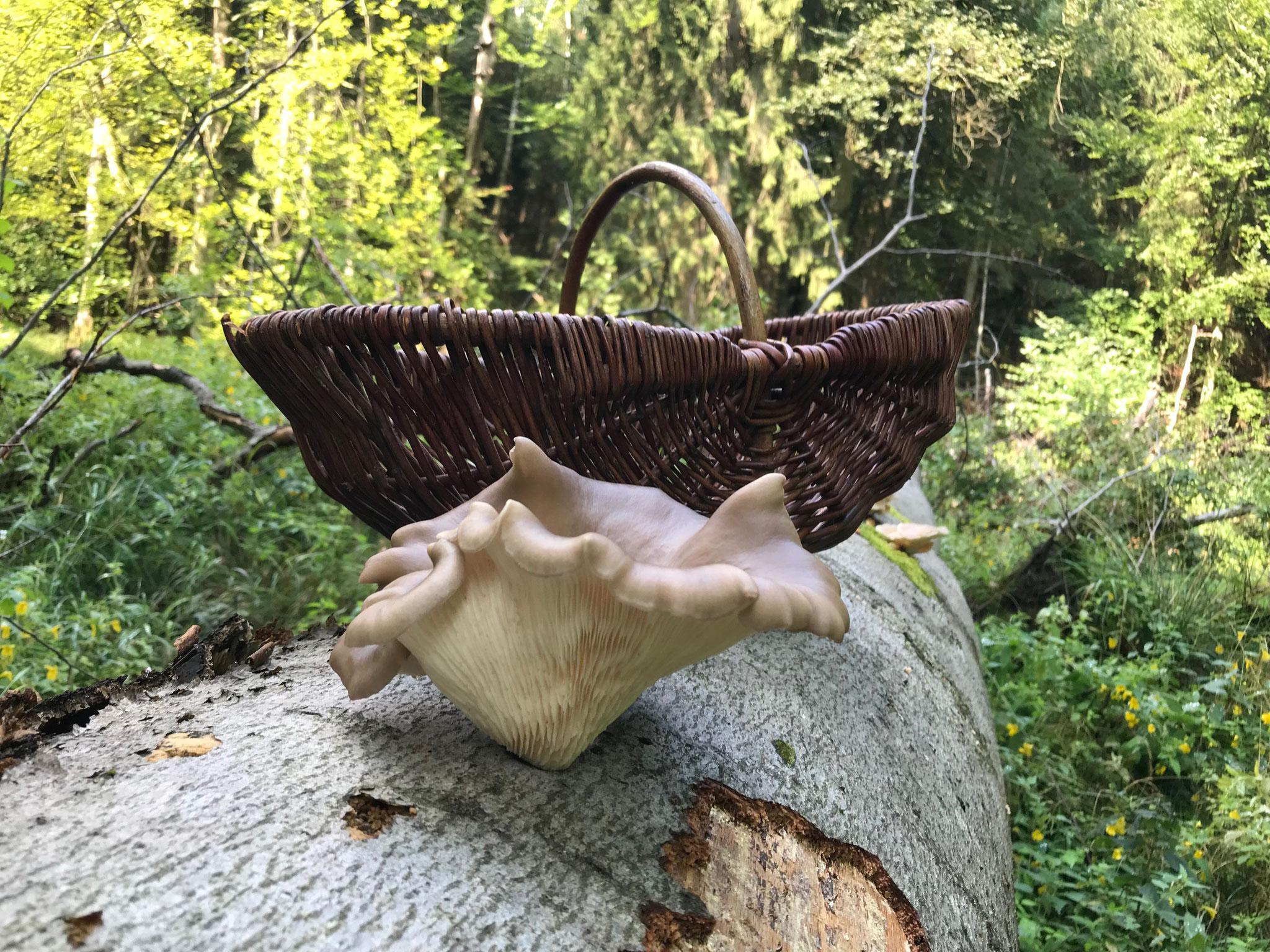 Austern-Seitling (Pleurotus ostreatus) 1,4kg