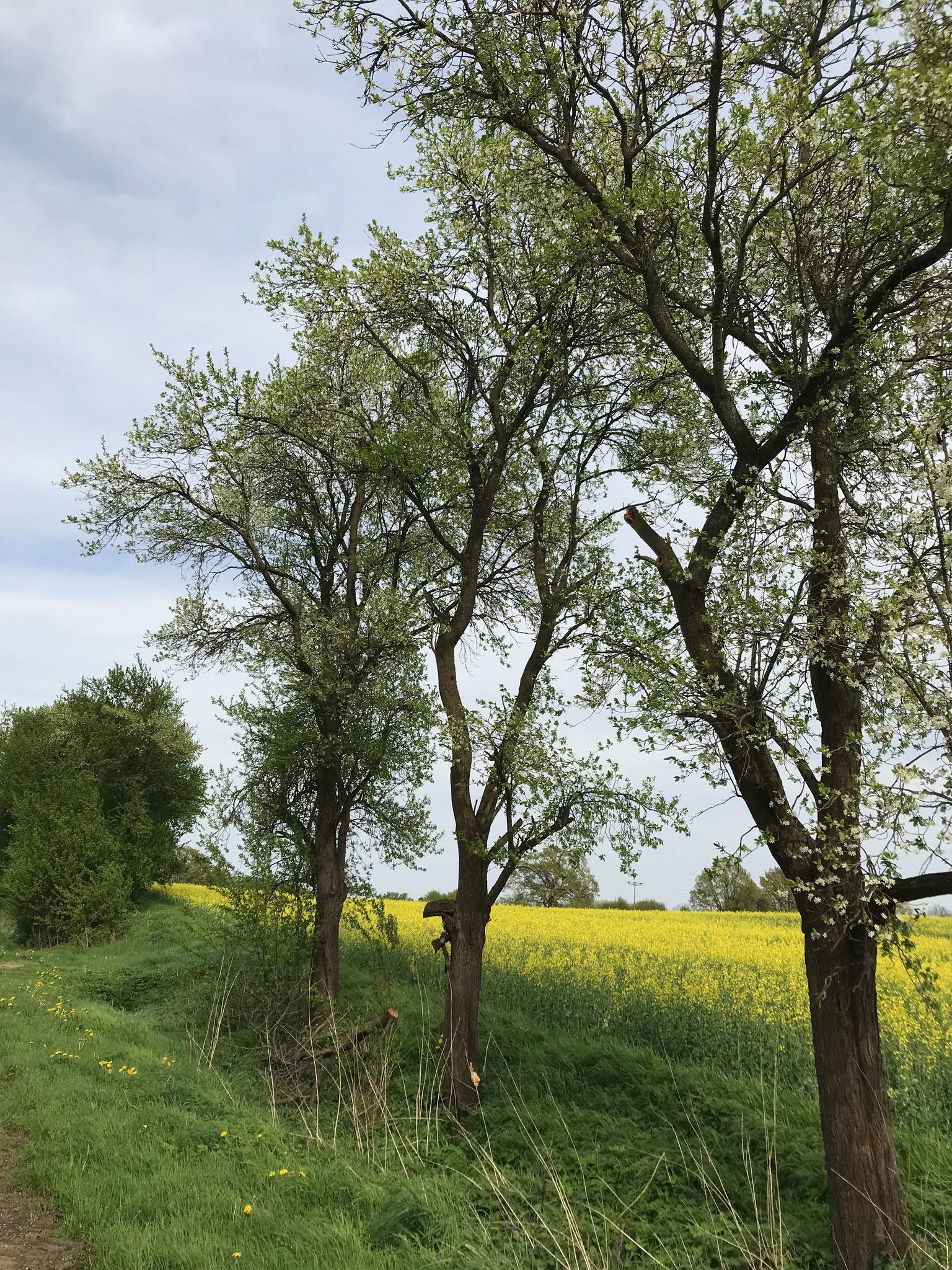 Schwefelporling (Laetiporus sulphureus) an Pflaume (Prunus spec.)