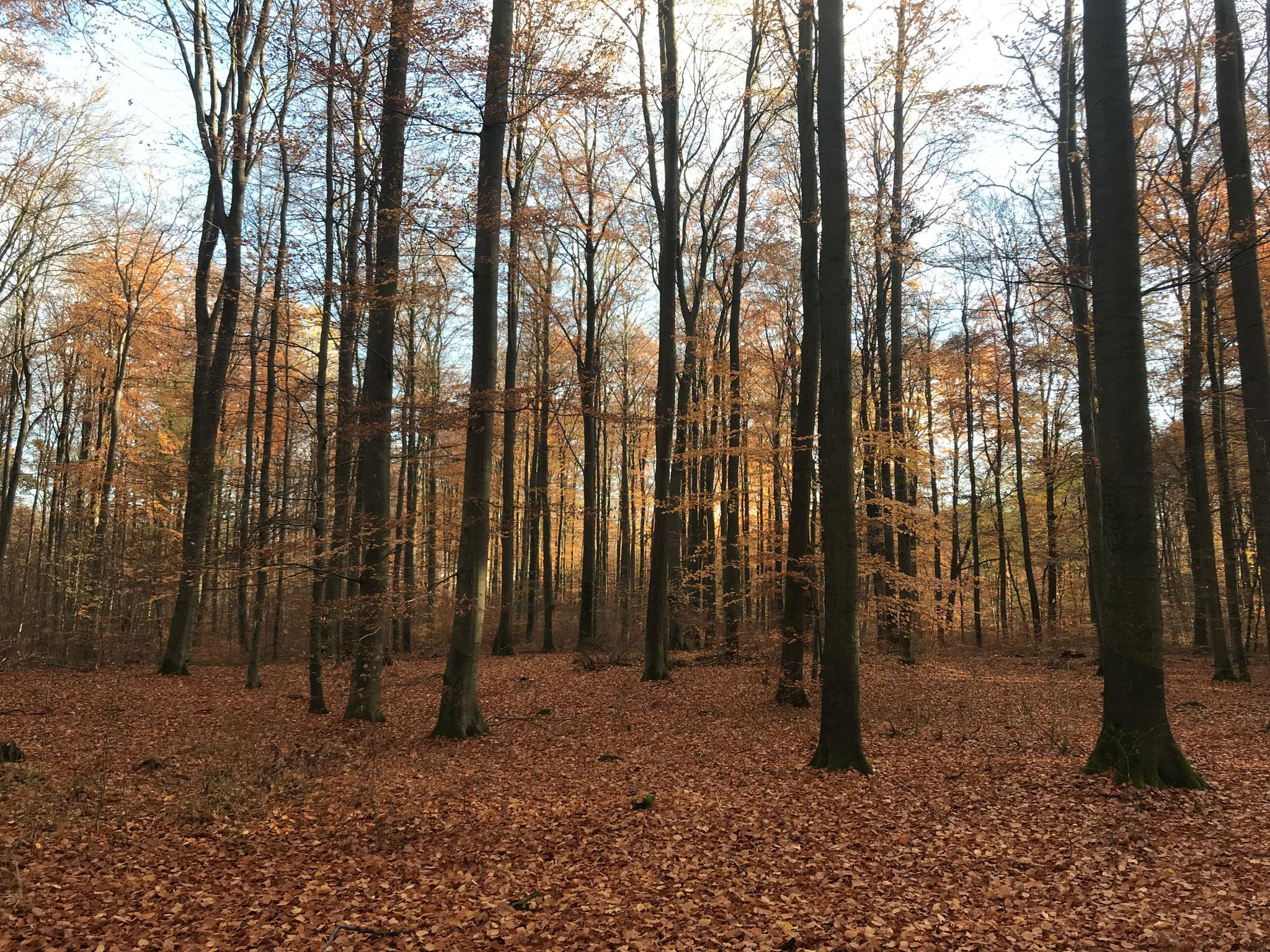 Altbuchenwald