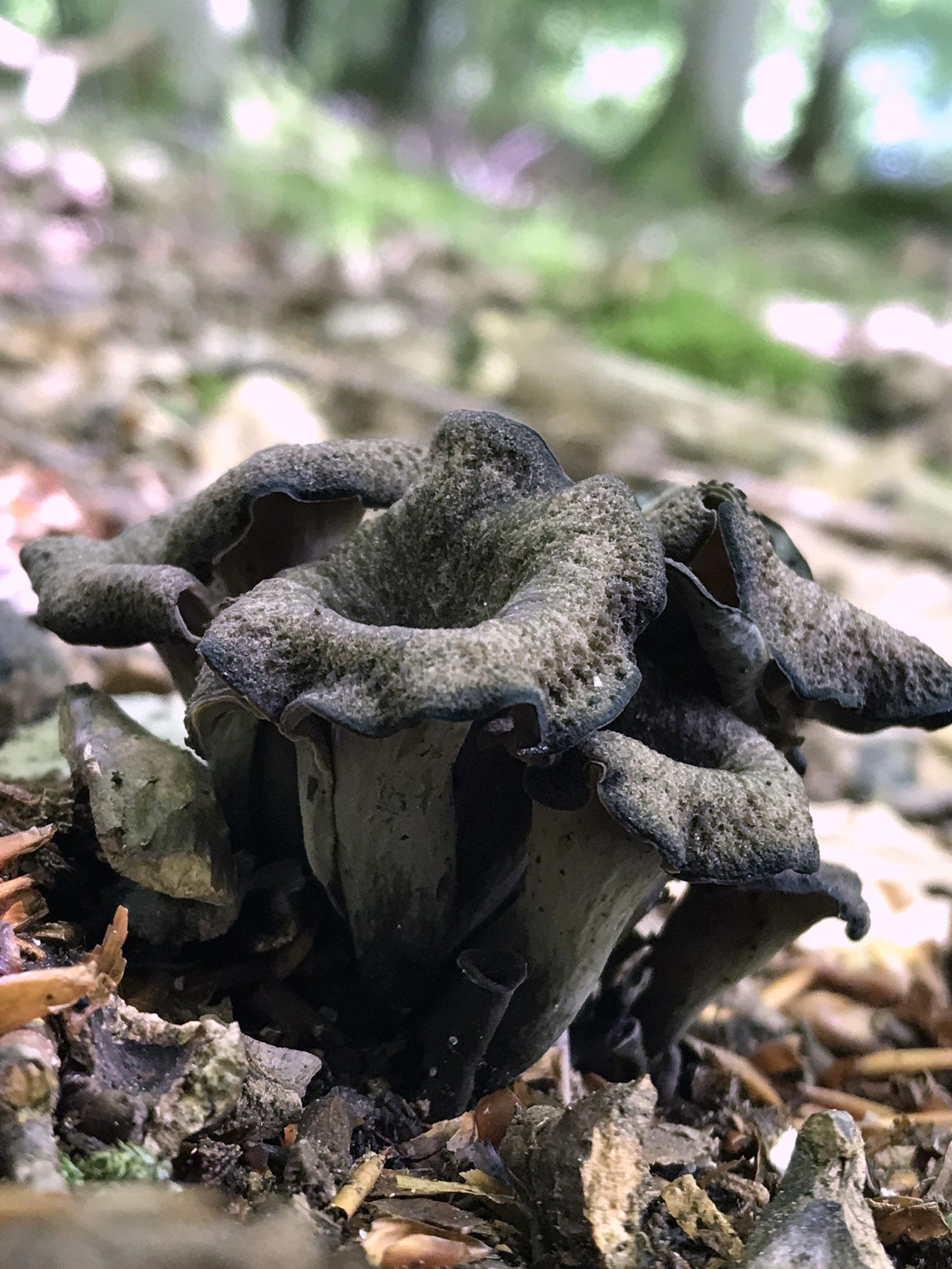 Herbst Trompete (Craterellus cornucopioides)