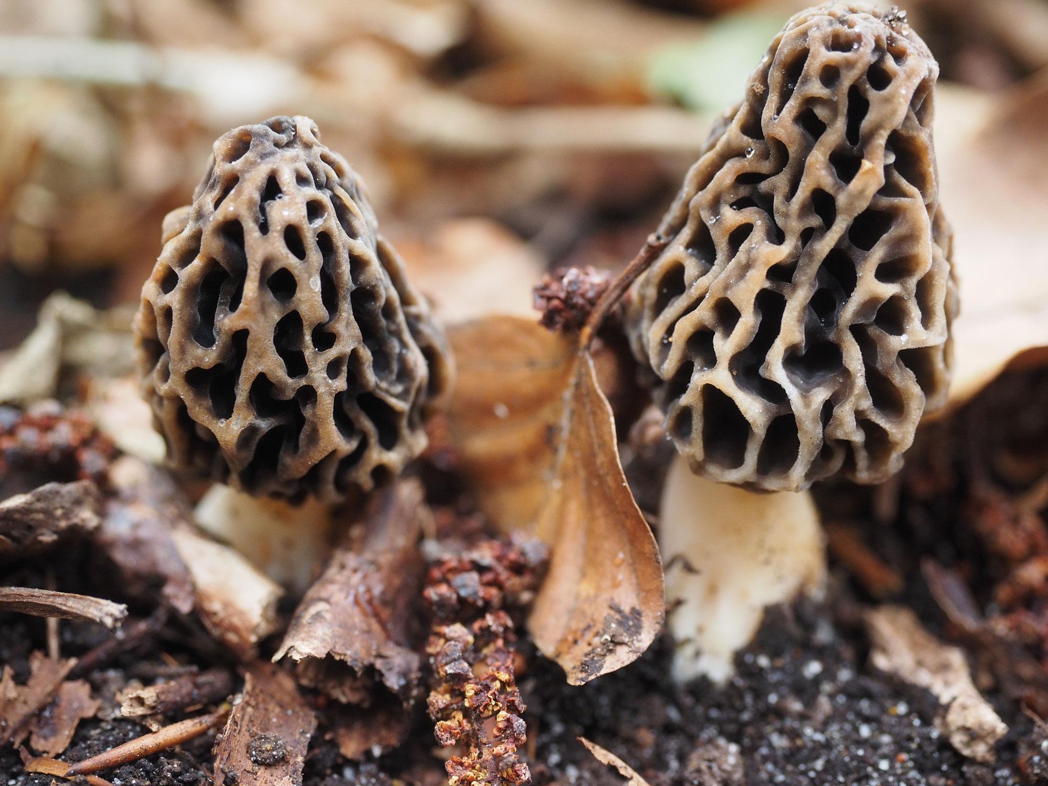 Speisemorchel (Morchella esculenta)