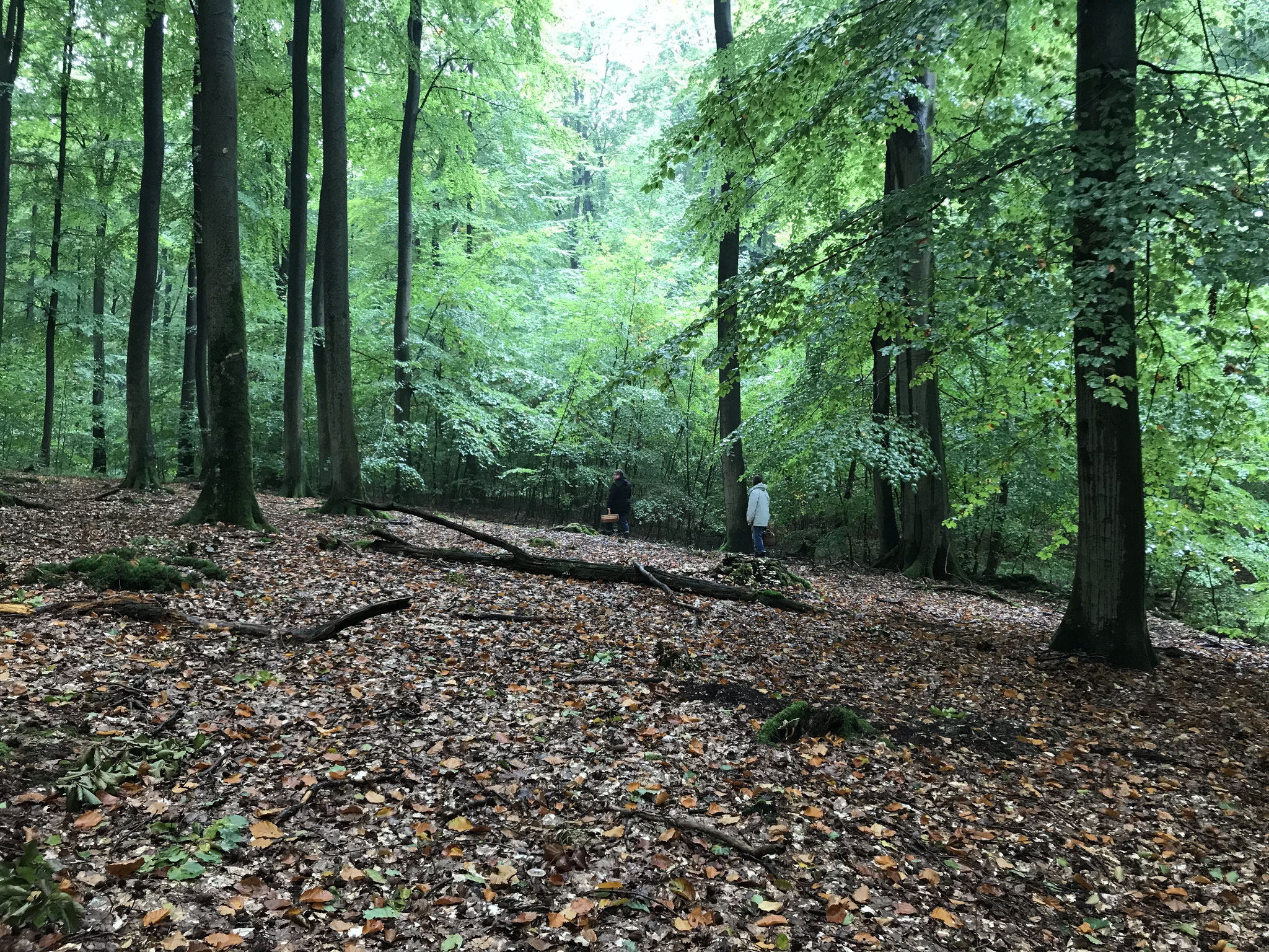 Hochbuchenwald