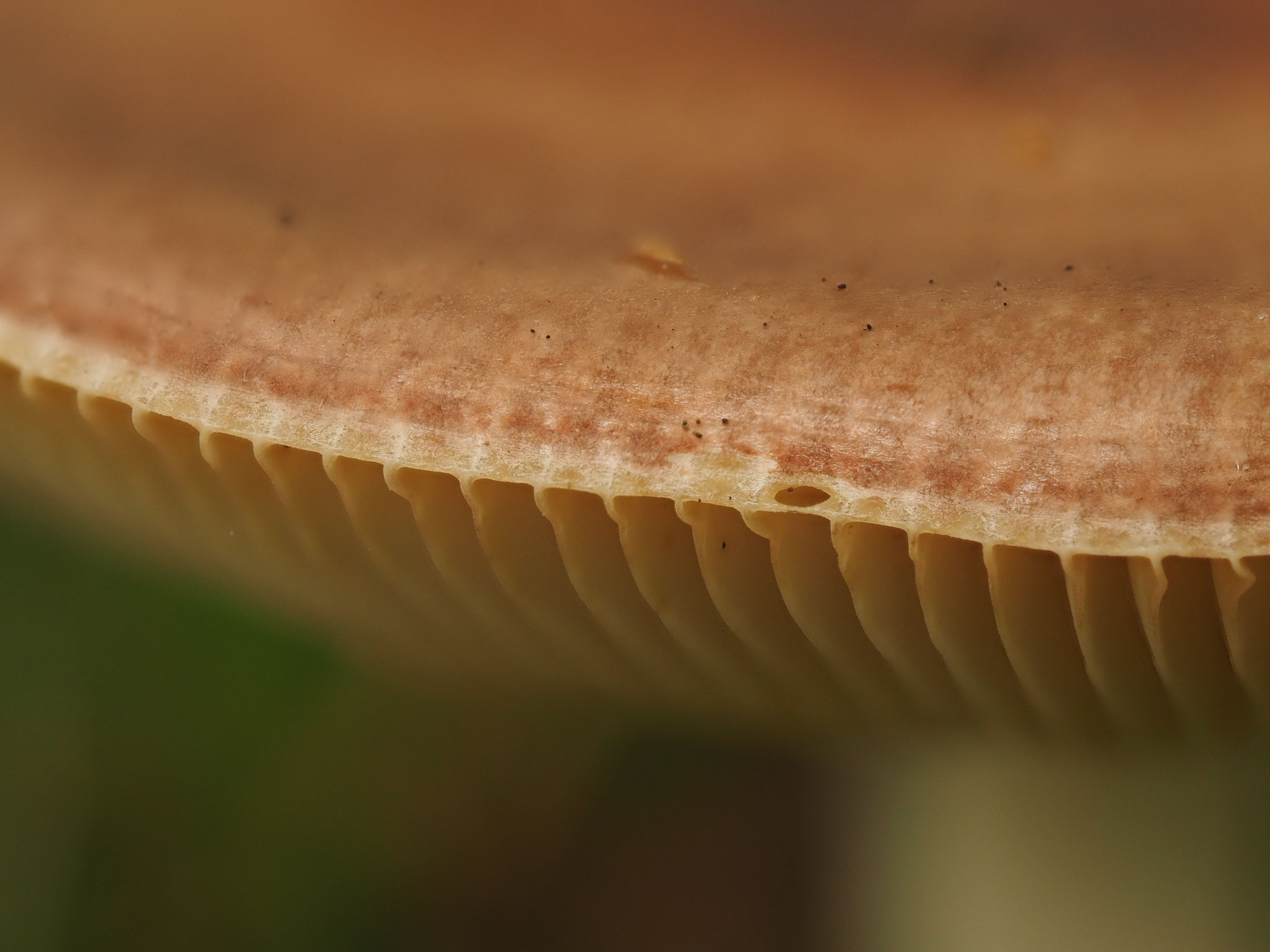 Fleischrote Speise-Täubling (Russula vesca)  Hutrand deutlich zurückgezogen
