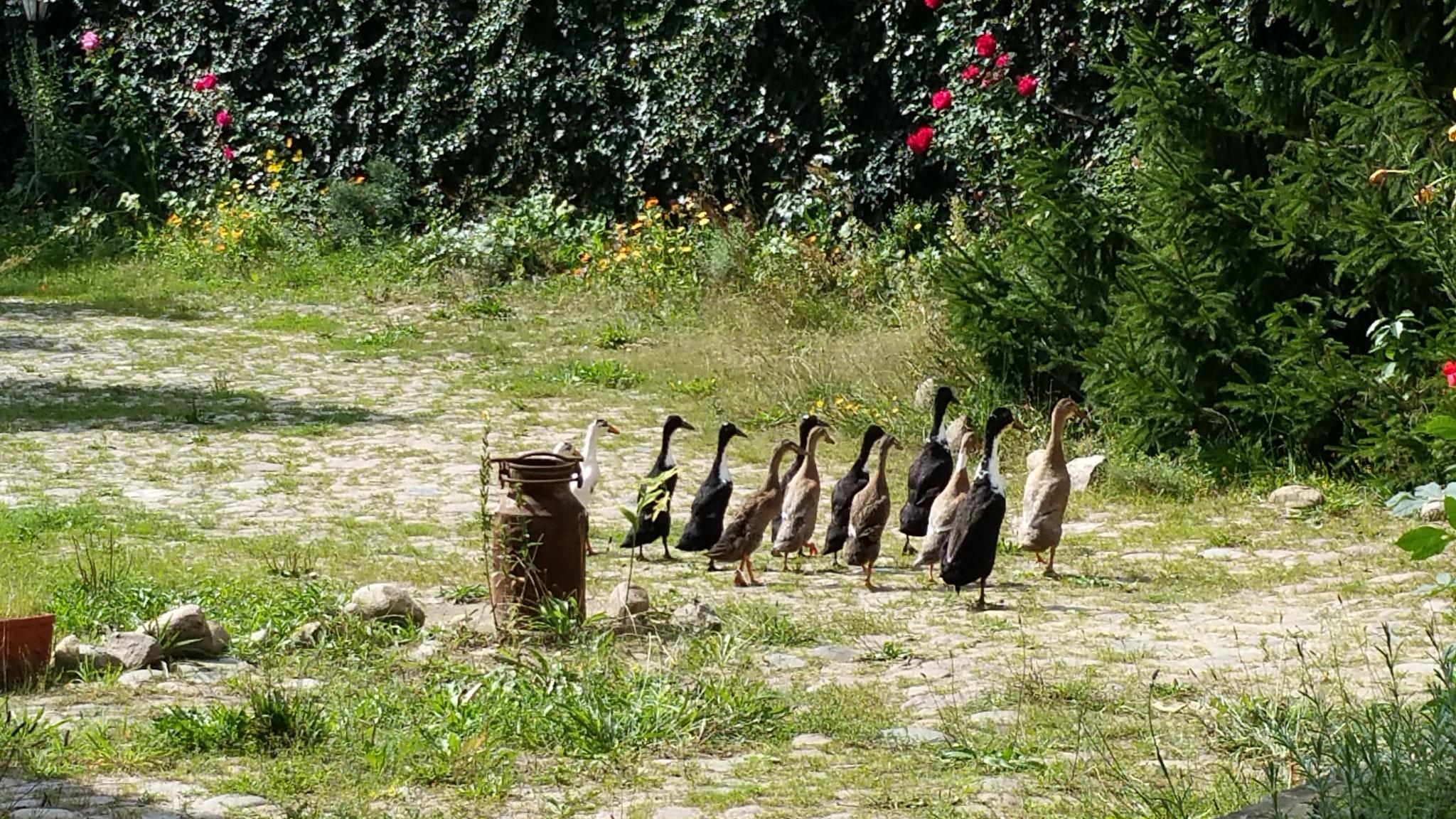 Laufenten auf dem Hof. Foto: J. de Gruyter