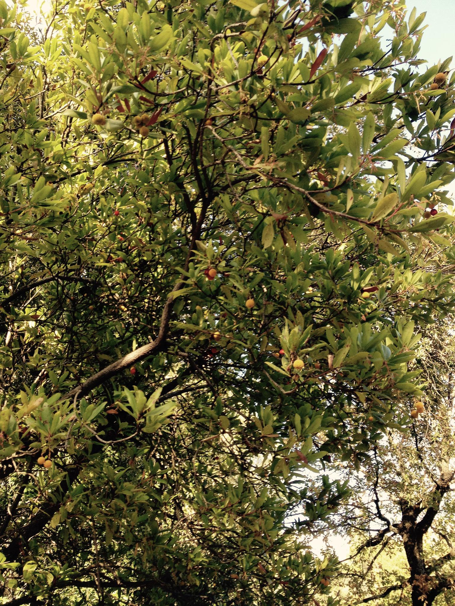 L'arbousier et ses fruits