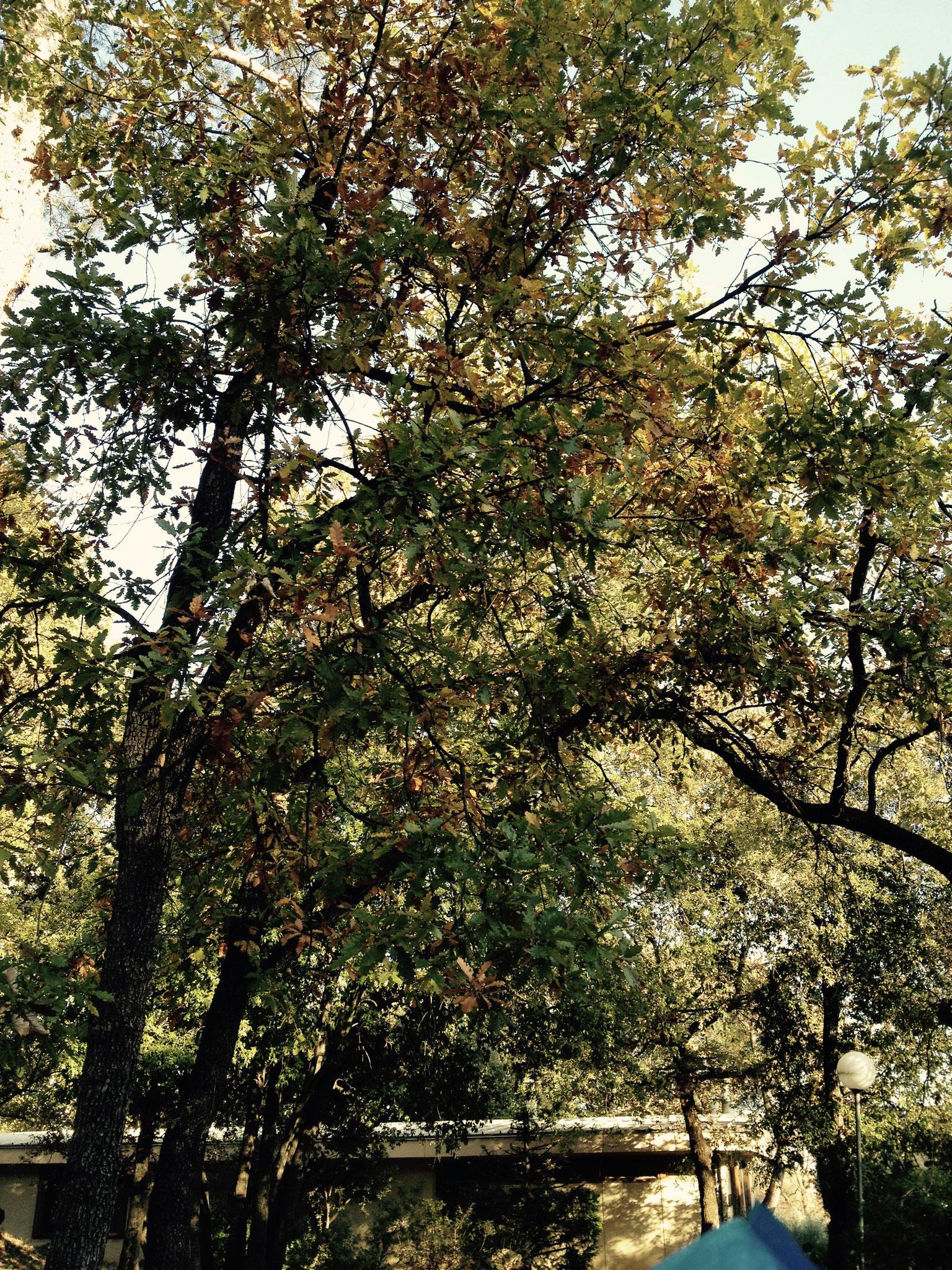 Feuillage de chêne
