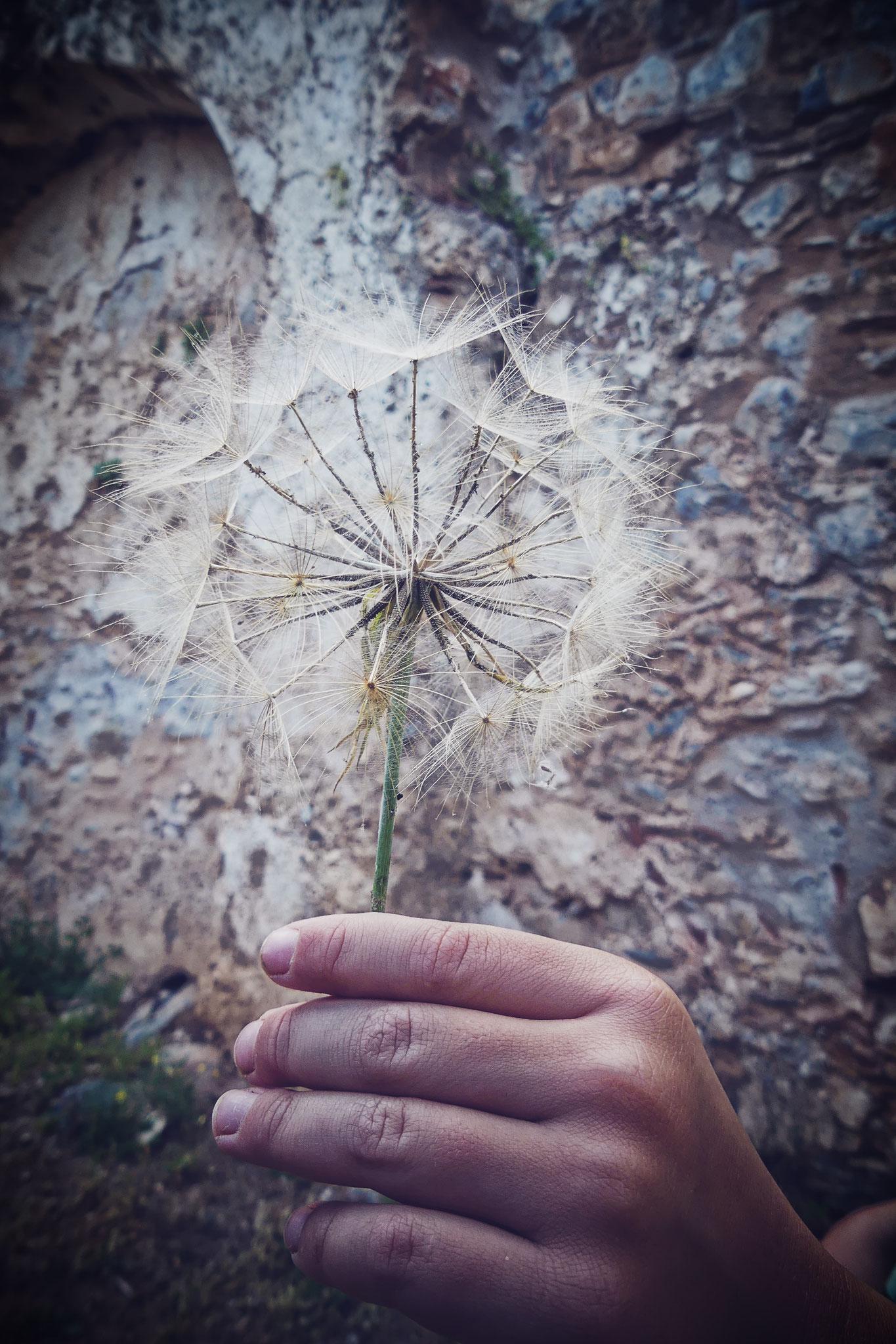 vous avez vu la taille des fleurs de pissenlit en Grèce??