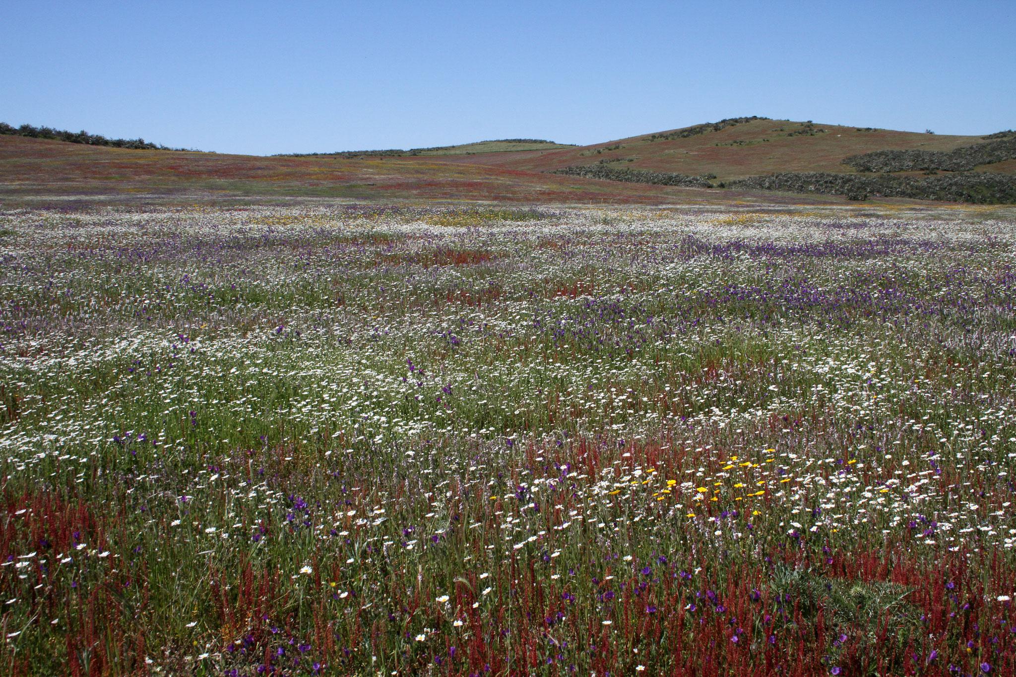 Die Grassteppe rund um Castro Verde steht zu dieser Zeit in voller Blüte