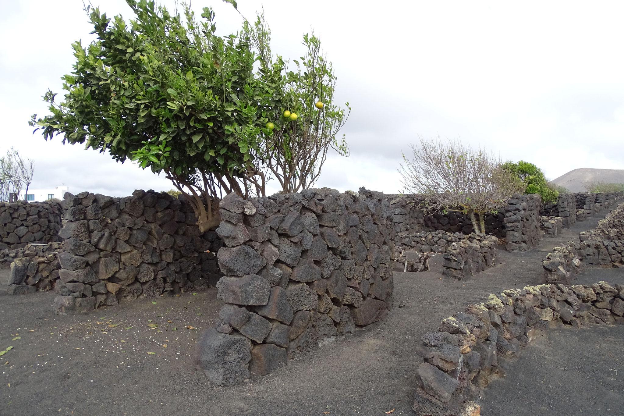 Es gibt einen recht intensiven Wein- und Obstanbau, wobei Weinstöcke und Bäume durch Lavasteinmauern vor dem Wind geschützt sind