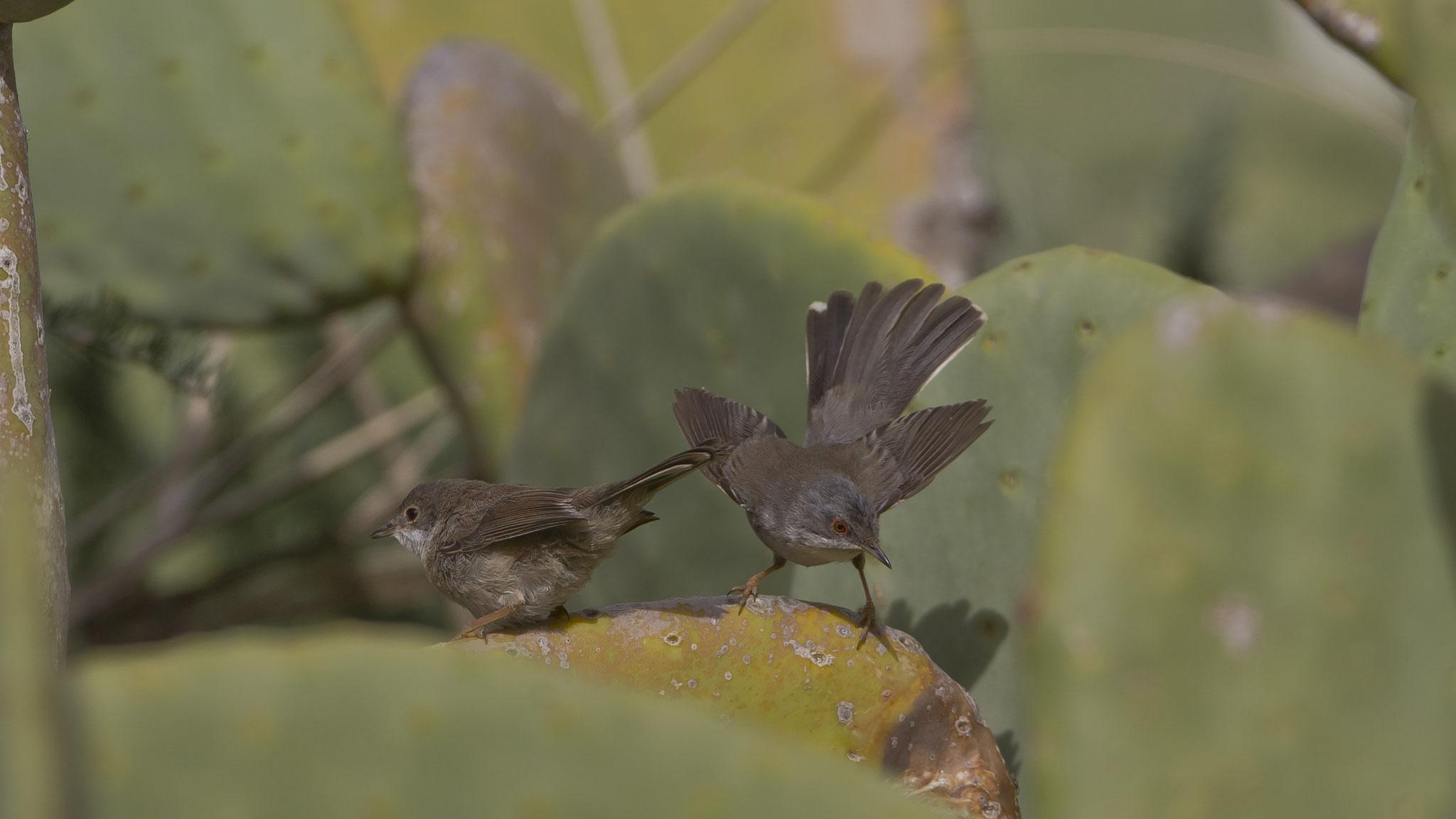 ... und füttert die bereits flüggen Jungvögel ...