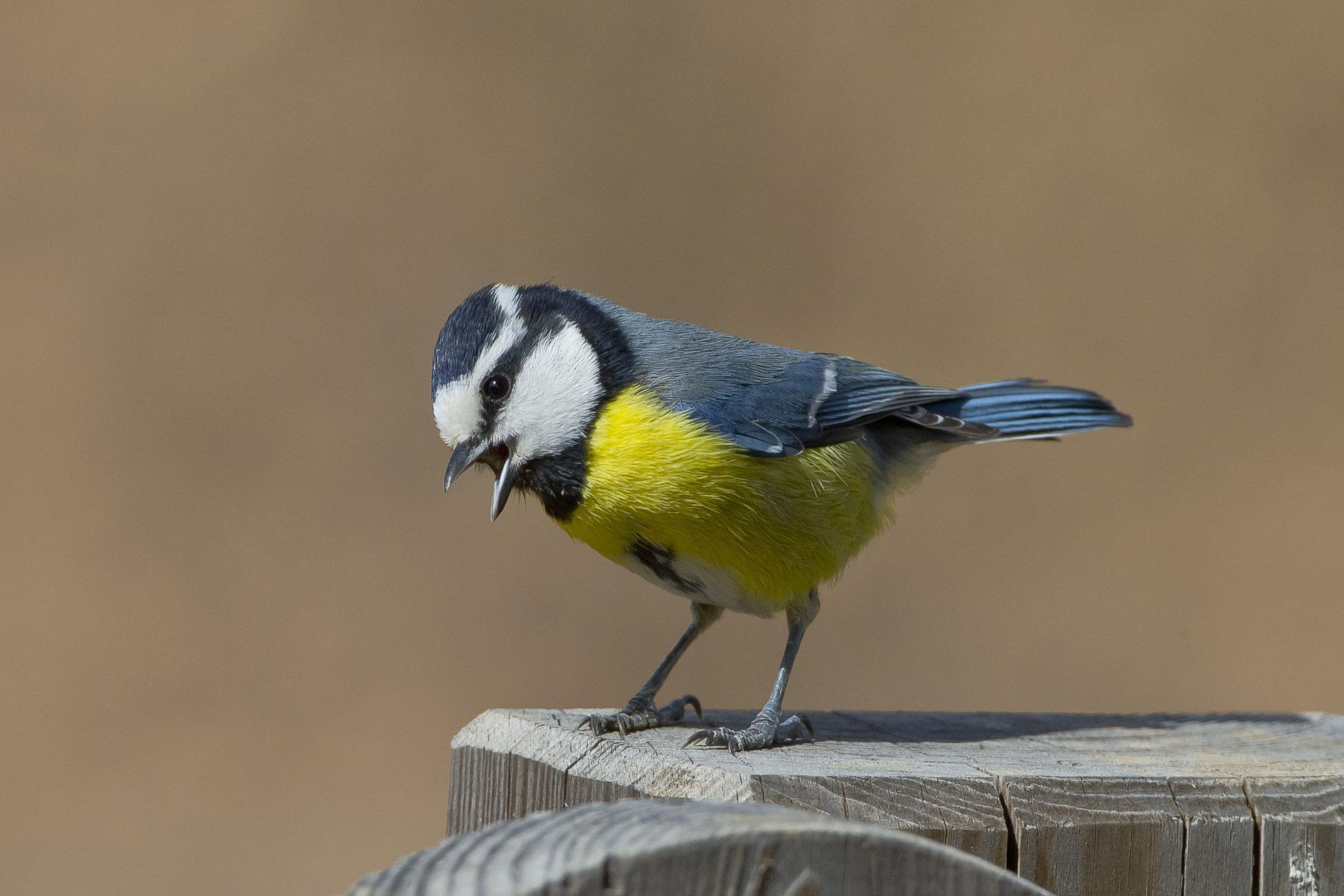Ornitholoische Höhepunkte dort sind die Ultramarinmeisen, ...
