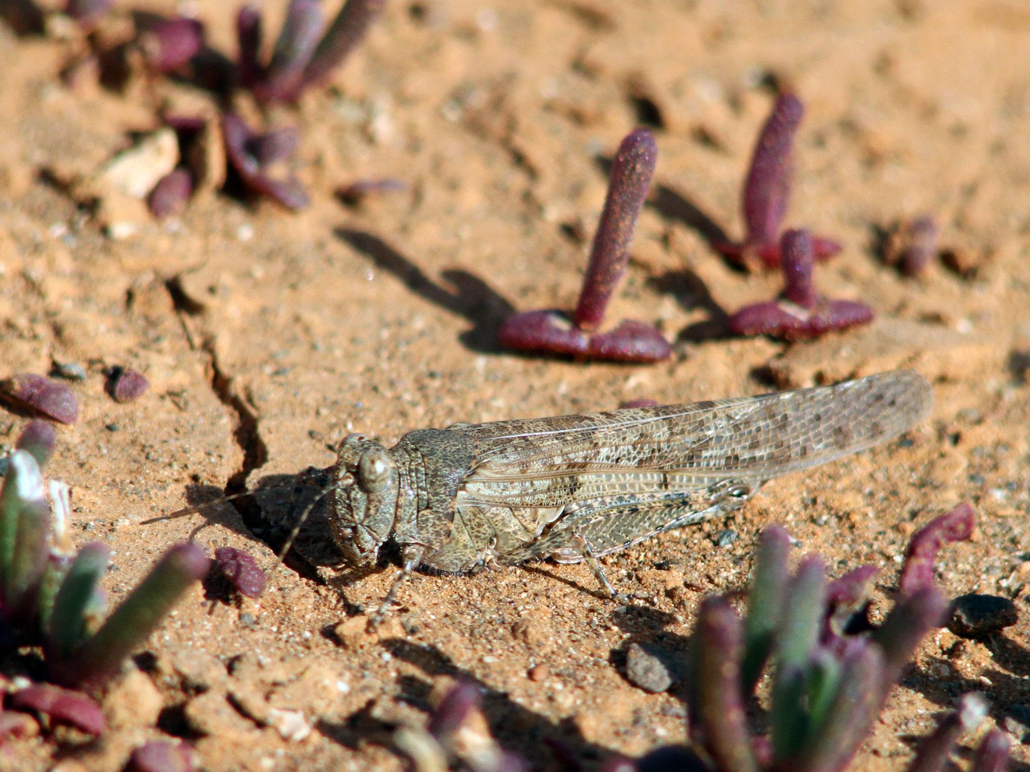 Zwischen den Pflanzen zeigt sich eine Sandschrecke (Sphingonotus rubescens)